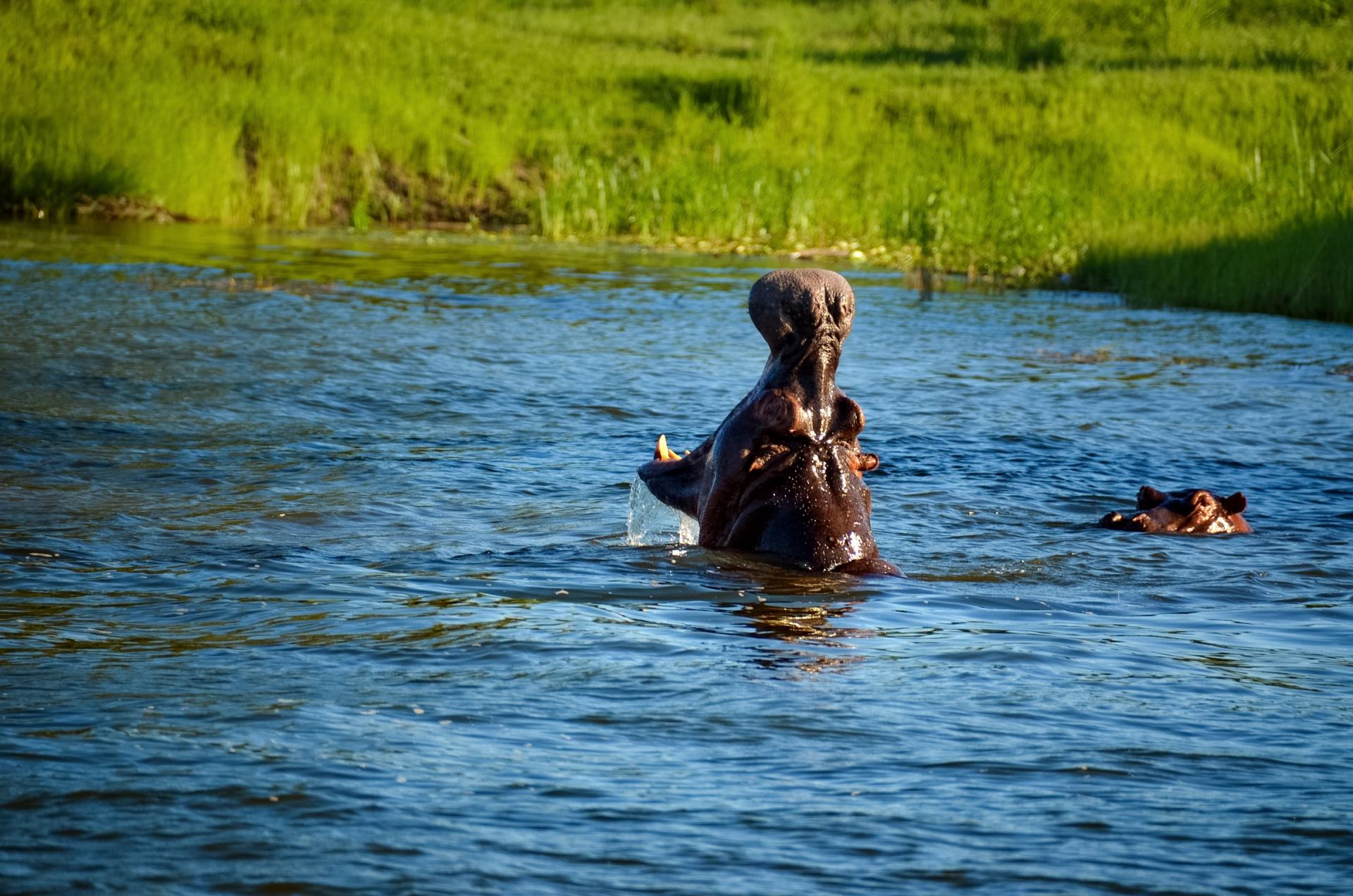 hippo in zimbabwe