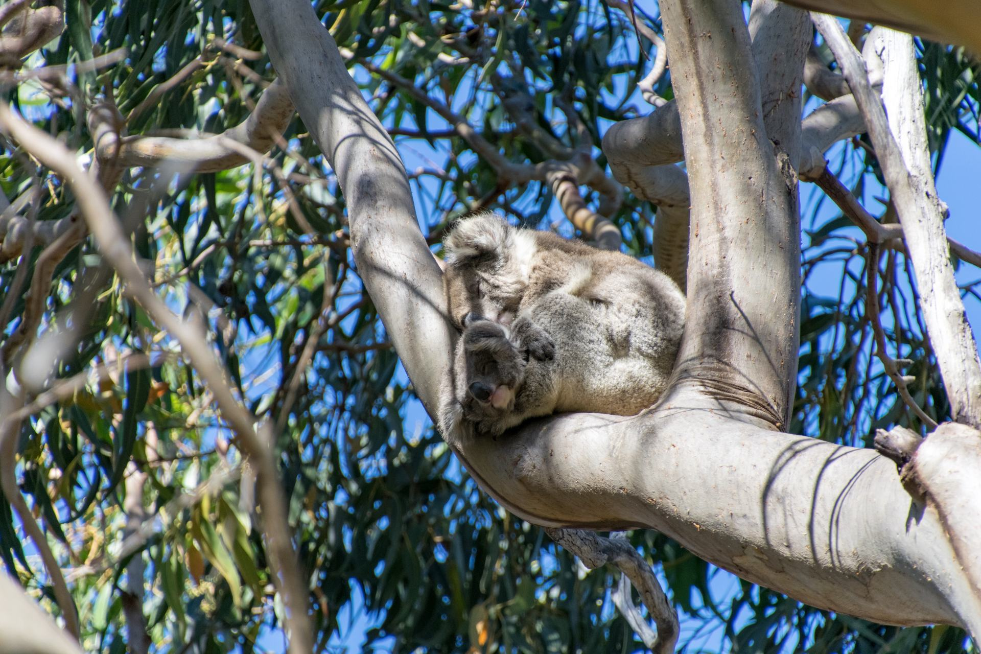 koala at hanson bay wildlife sanctuary