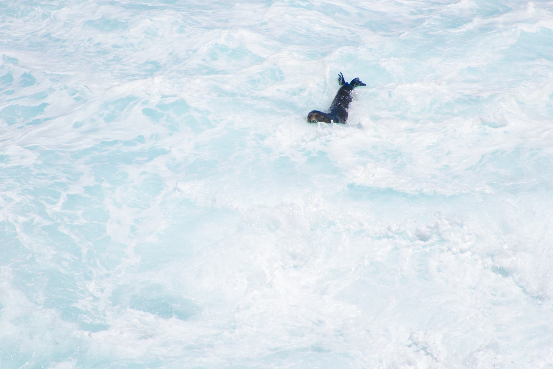 seal surfing in with the waves flinders chase national park