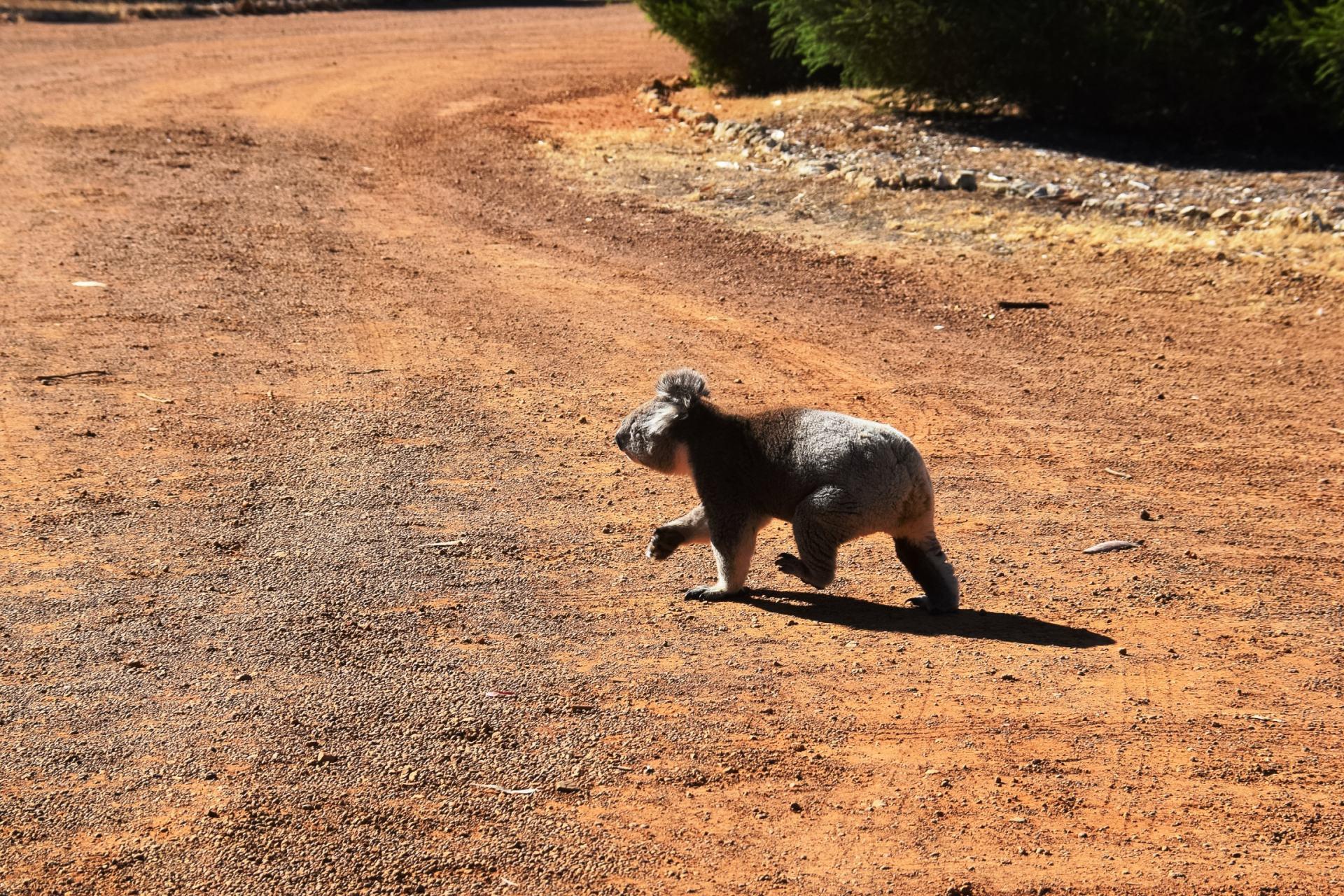 koala crossing the road at hanson bay wildlife sanctuary