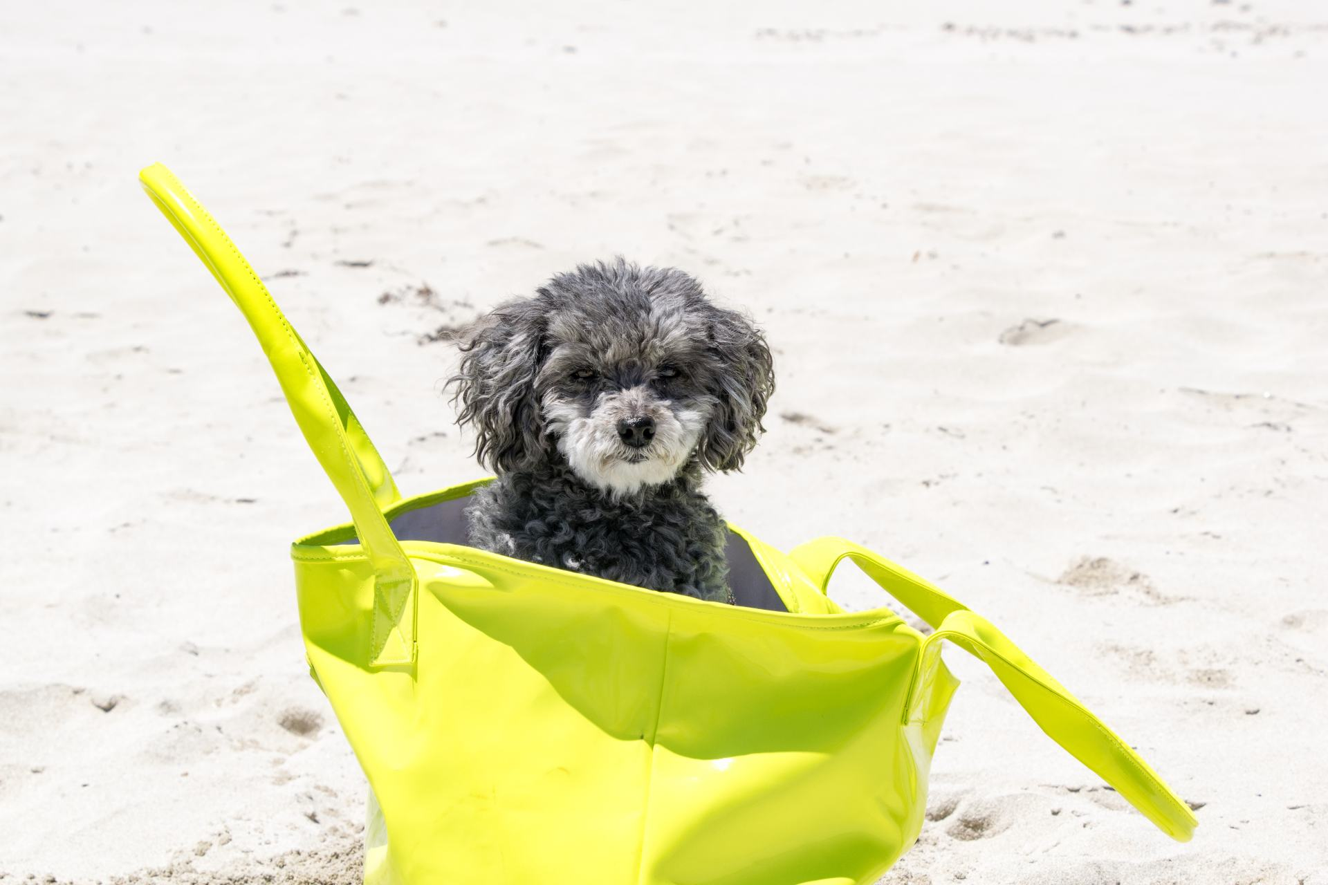 puppy dog in a beach bag