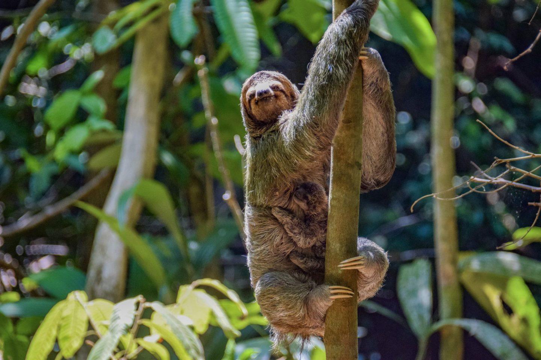 sloths in manuel antonio