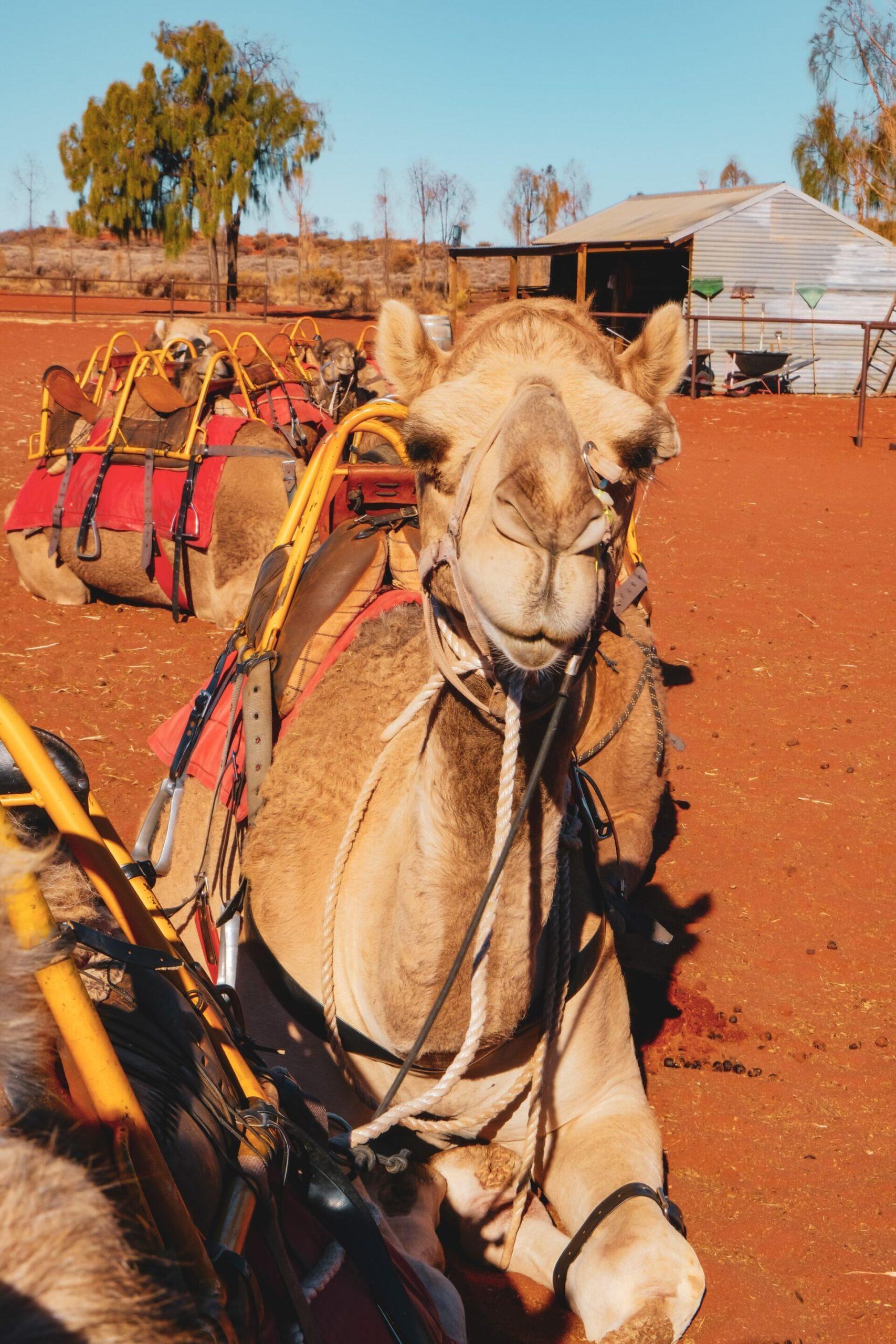 lucky the camel