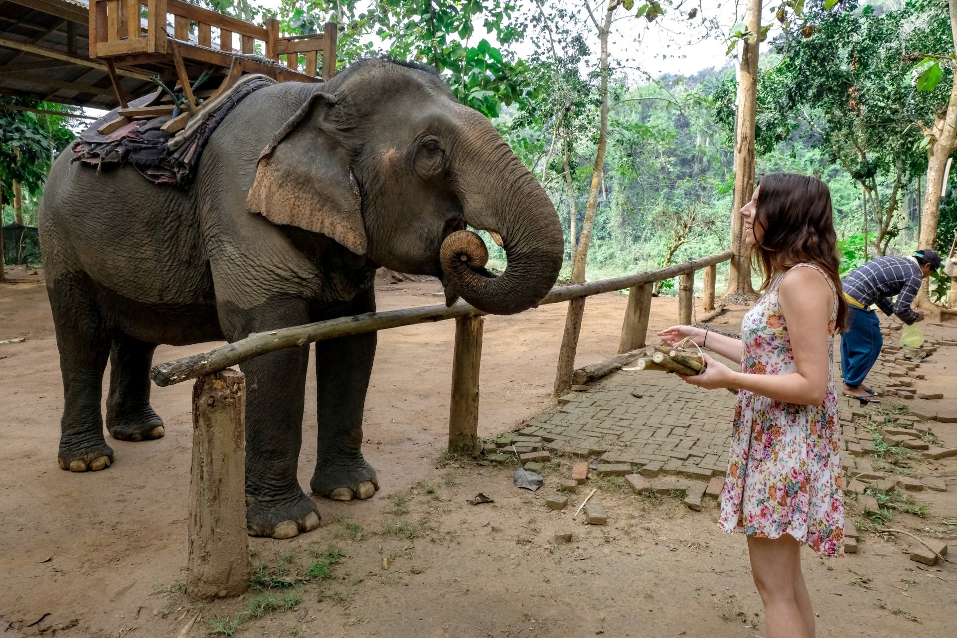 feeding elephants in luang prabang