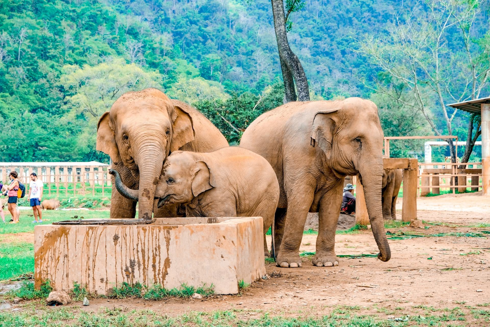 elephants at chiang mai's elephant nature park