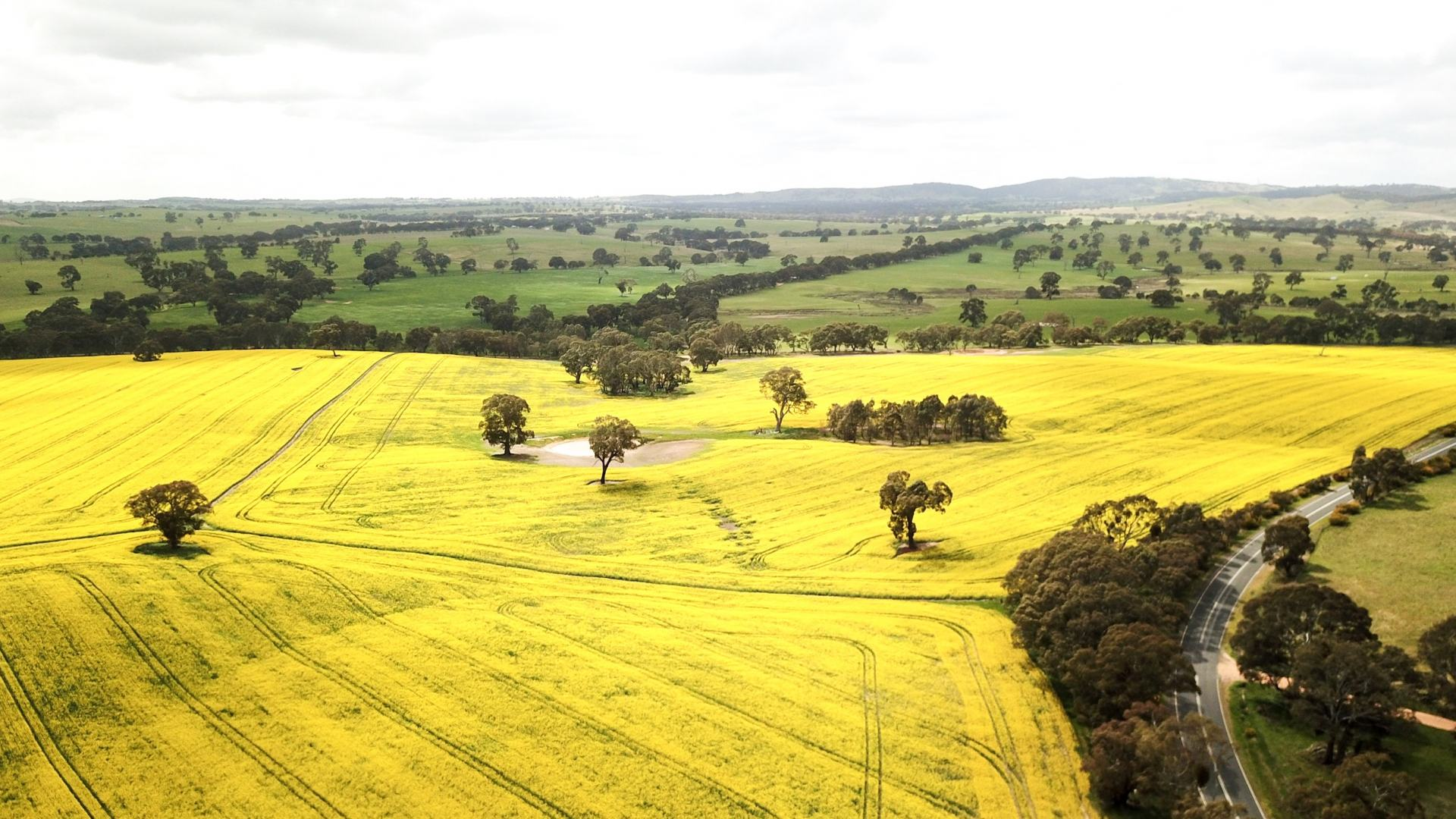 canola fields on the way to the grampians