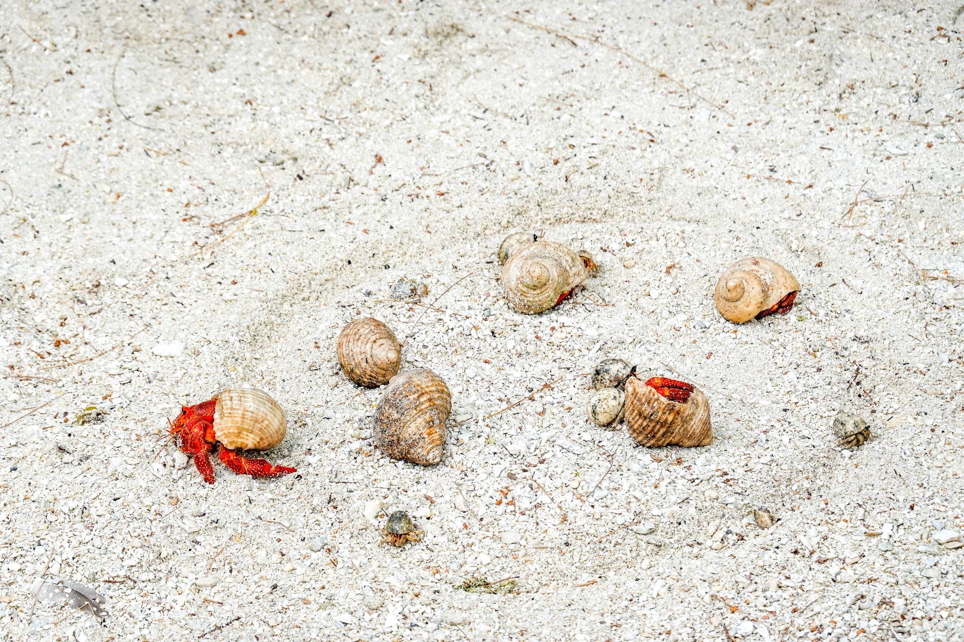 hermit crab race