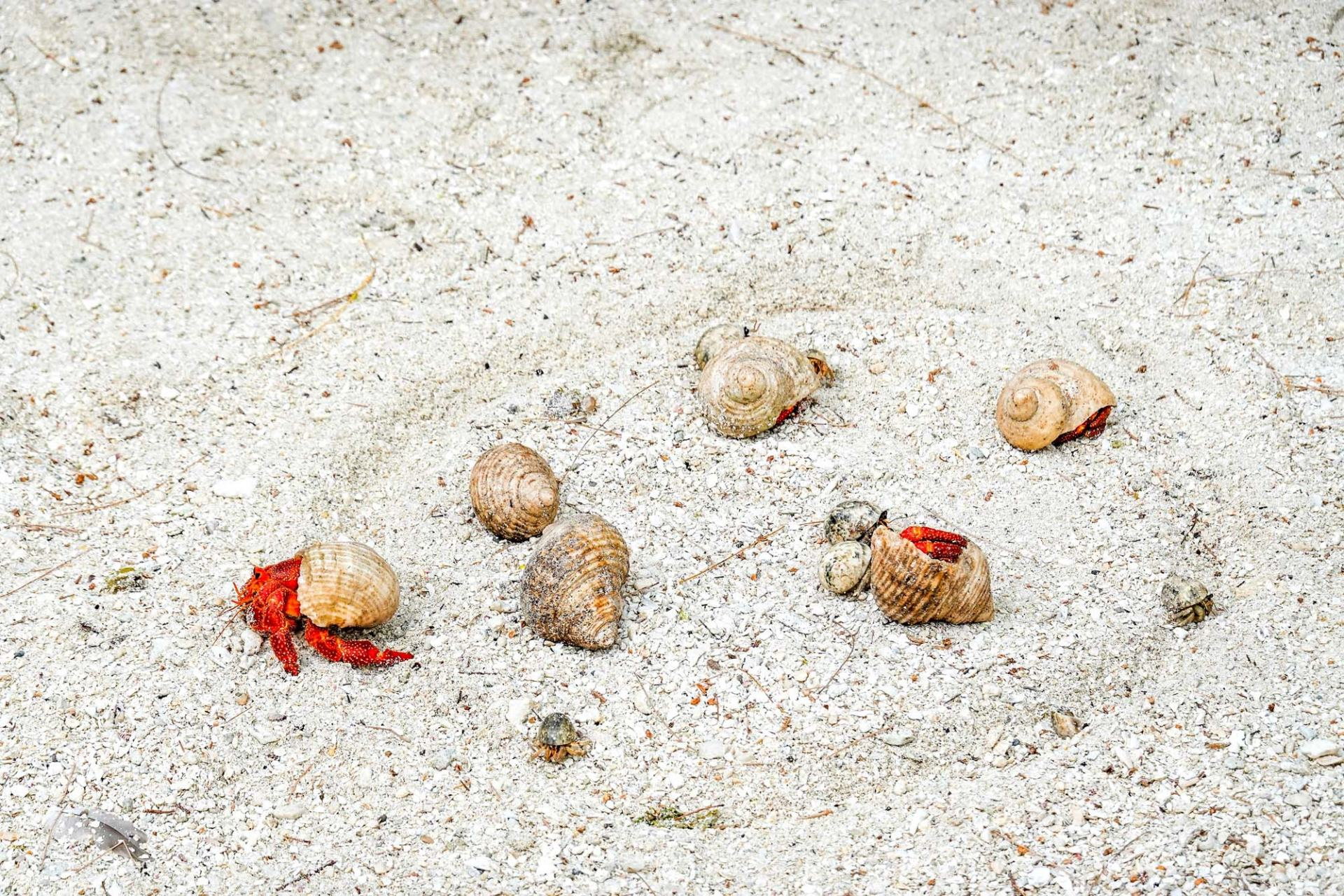 hermit crab race