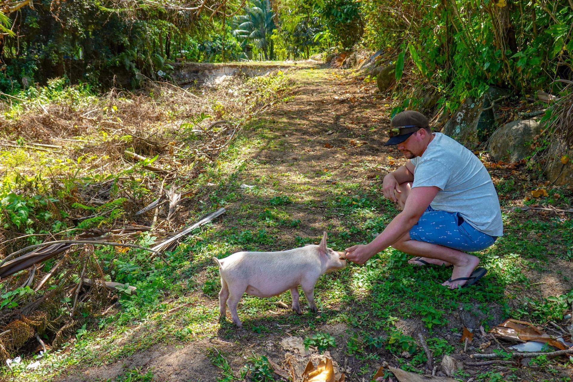 wild pigs on rarotonga