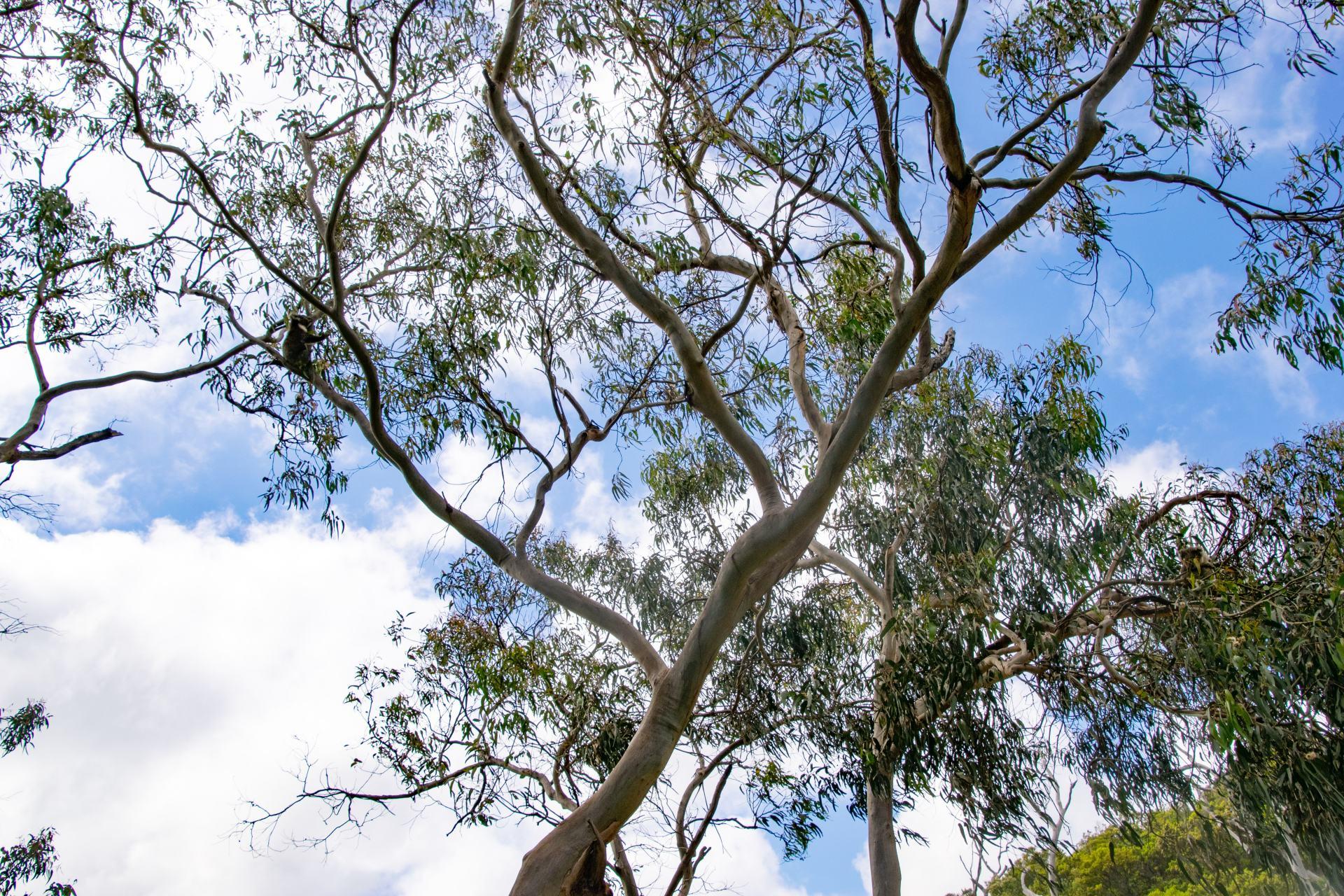 koalas sitting in tree at kennett river