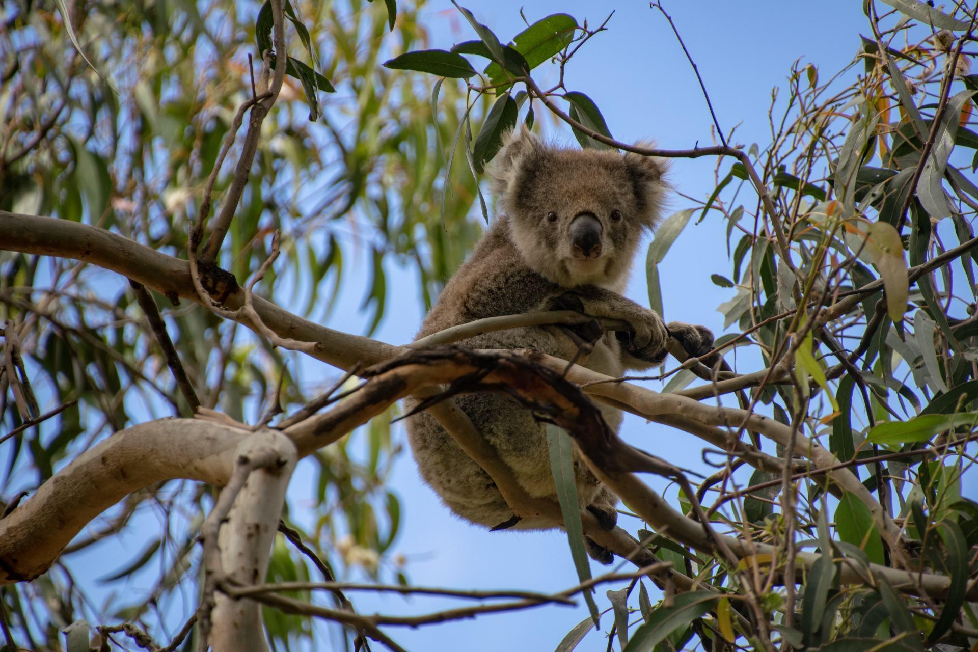 koala sitting in tree on the great ocean road