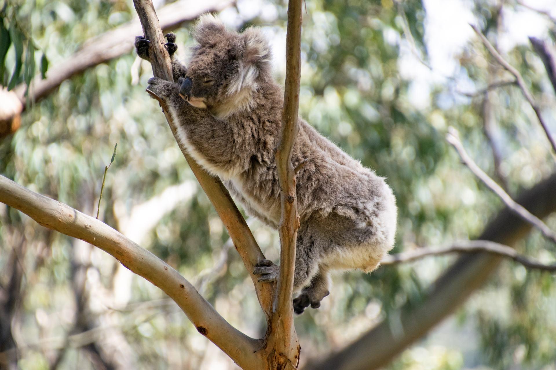 active koala climbing in tree
