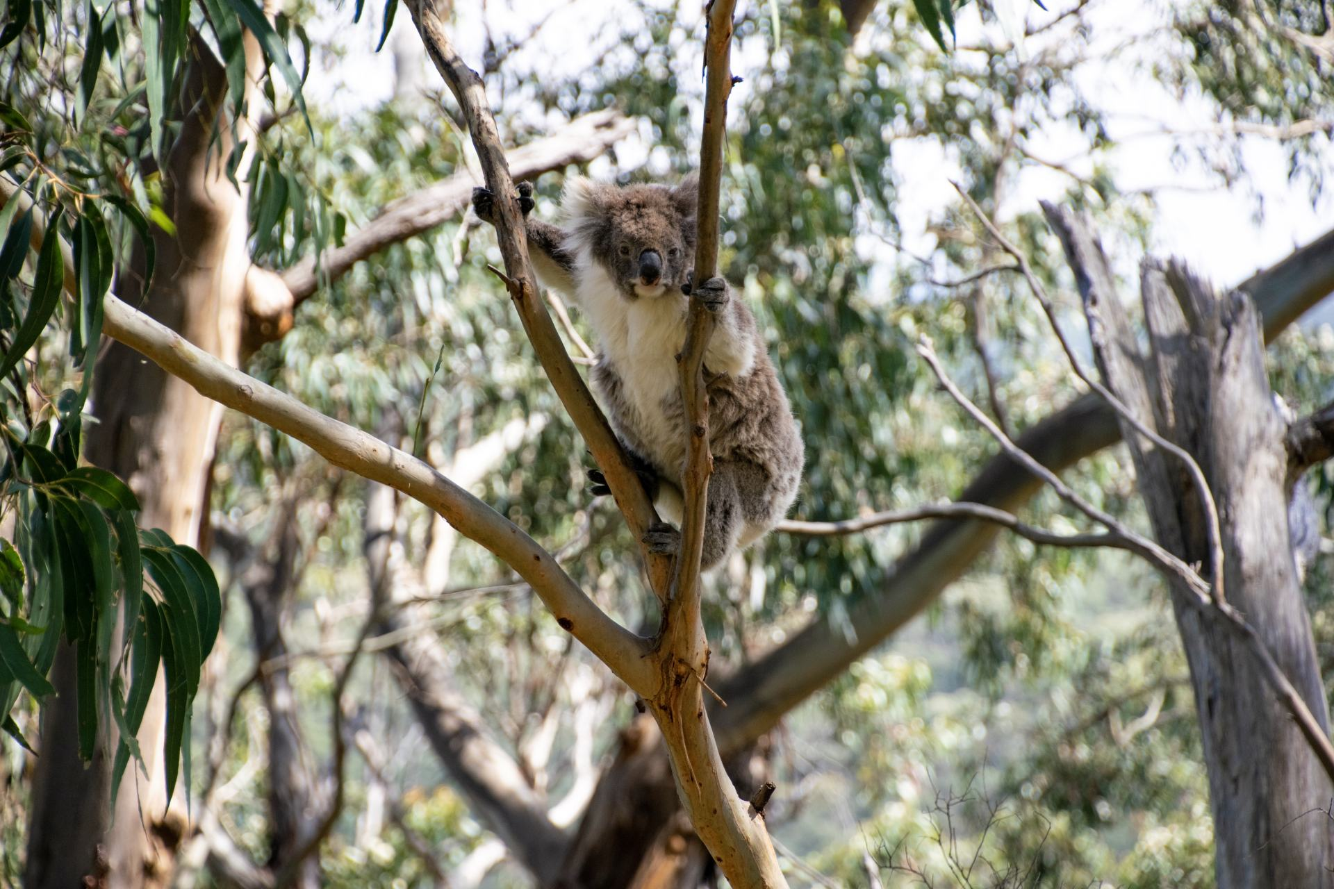 koala at kennet river