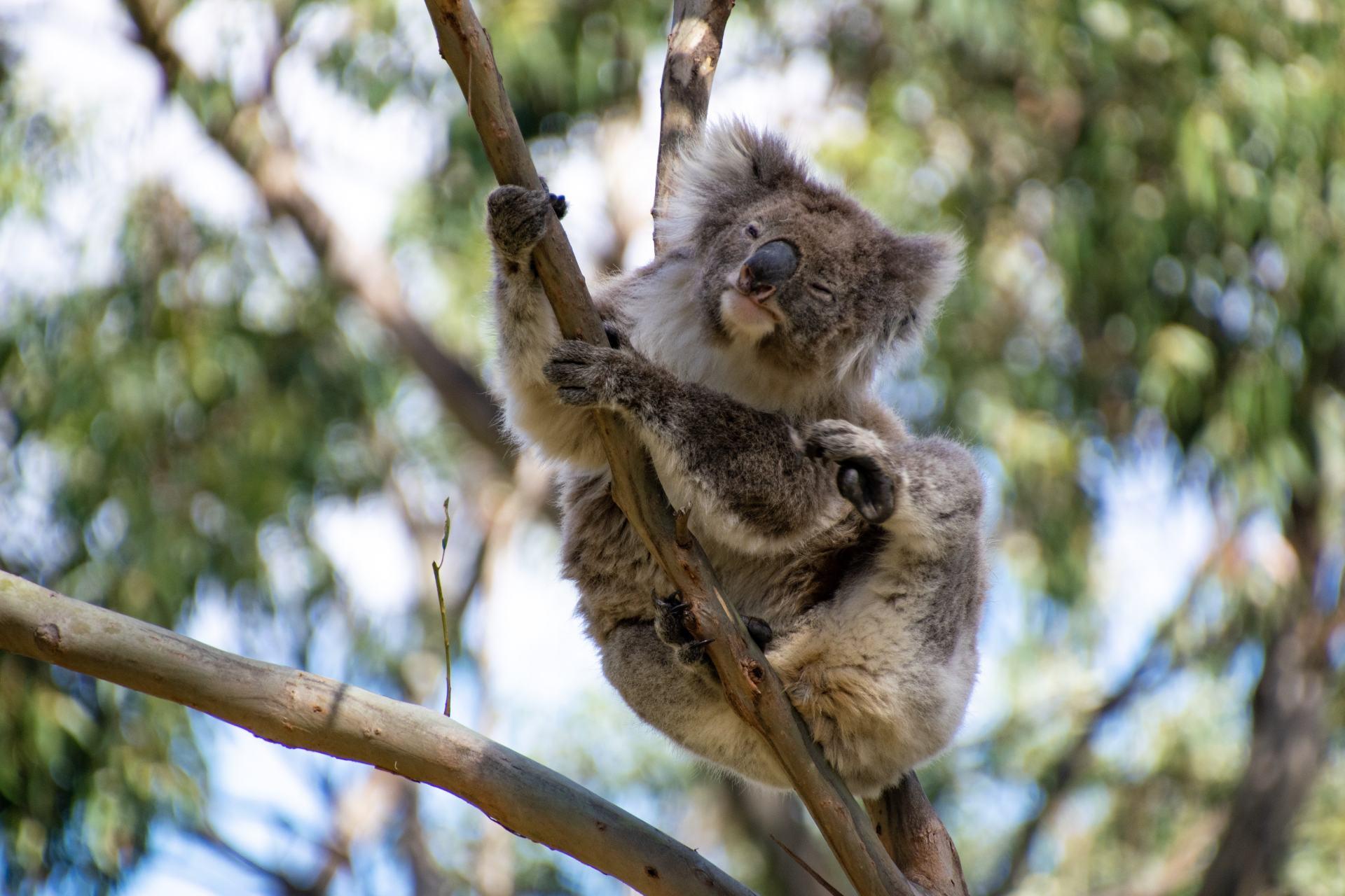 koala scratching his ear