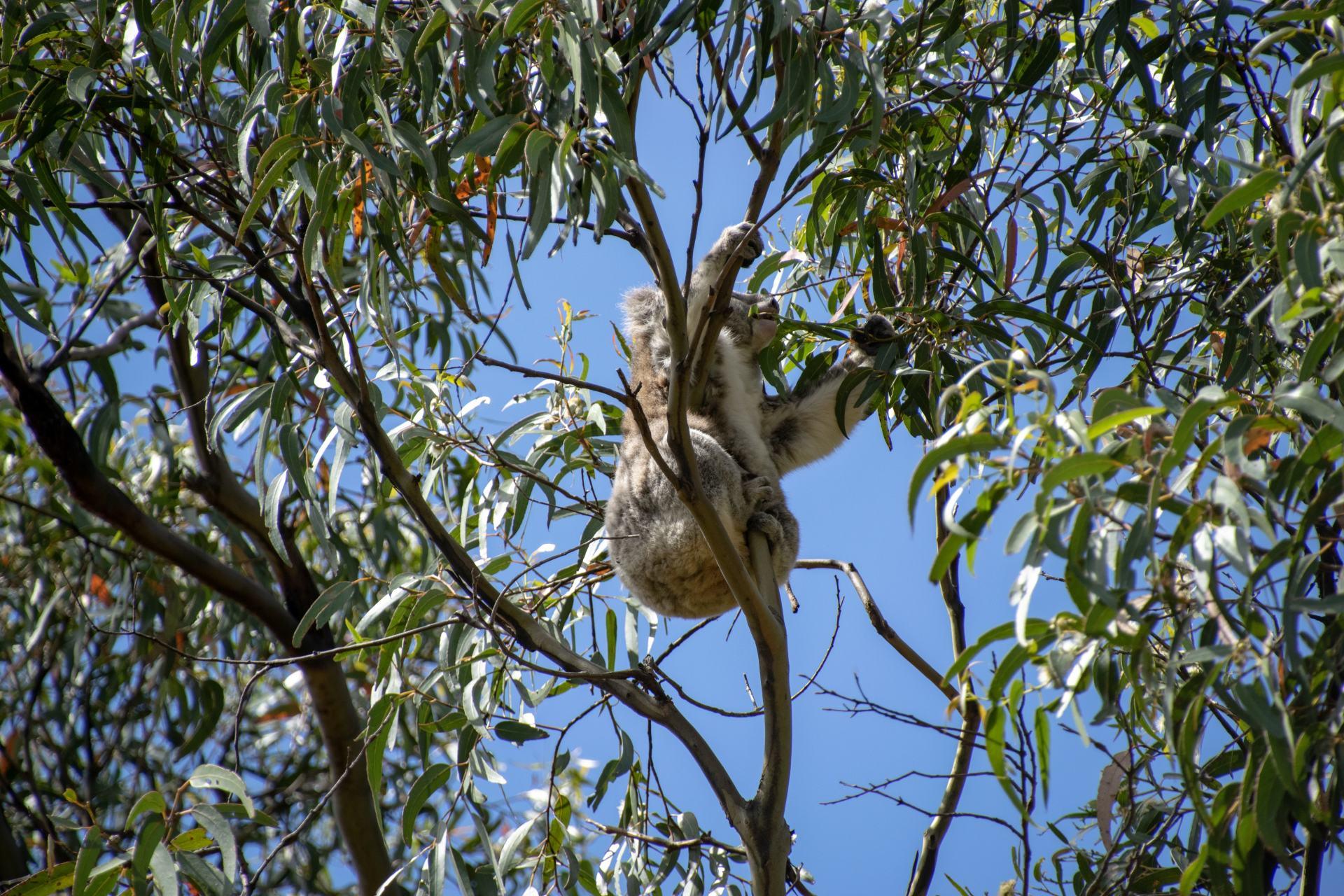 koala climbing in the trees
