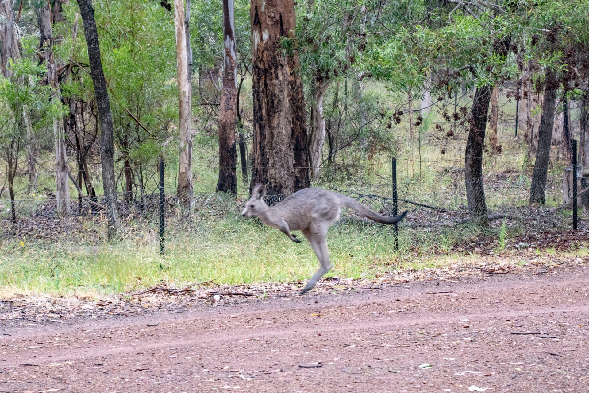 kangaroo at devils cove campground