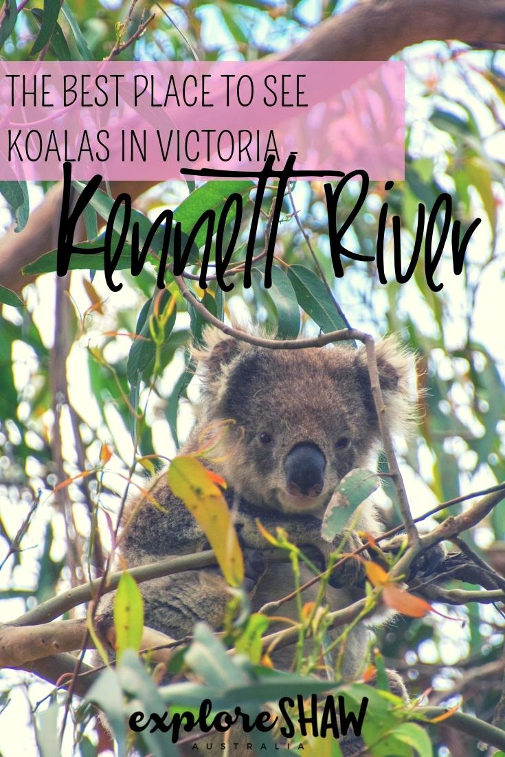 kennett river koala walk - the best place to see koalas in victoria