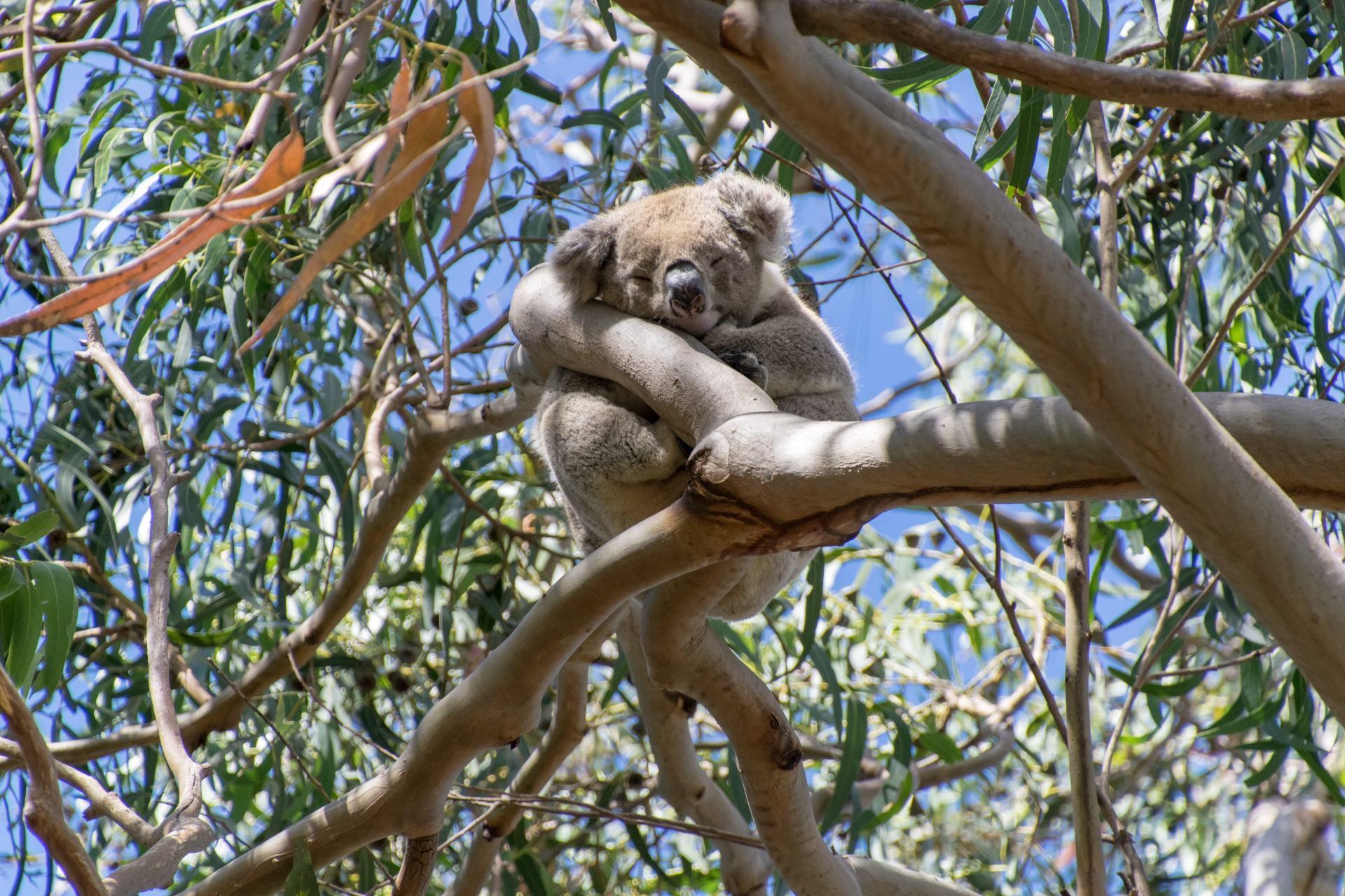 wild koala in a tree
