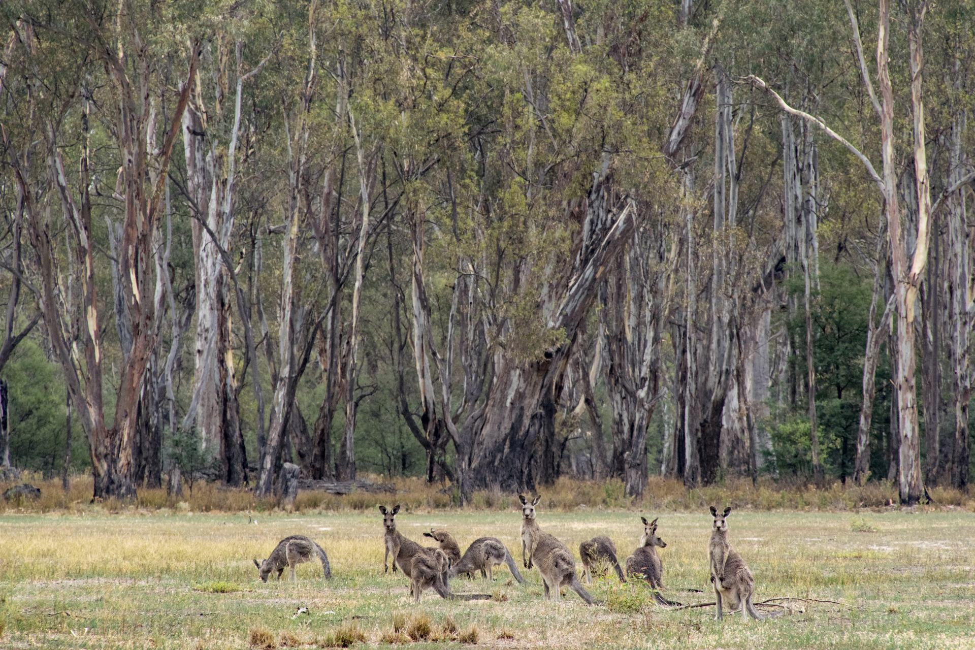 kangaroos on the murray river