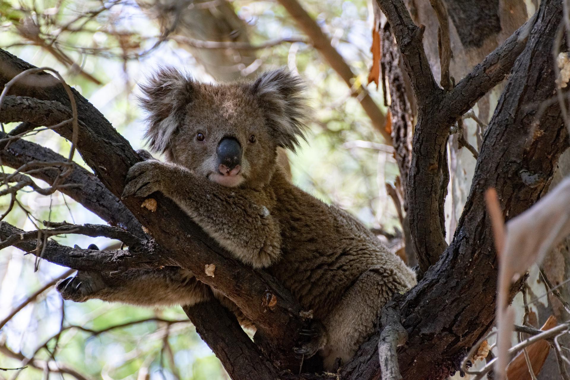 koala in a tree on ulupna island