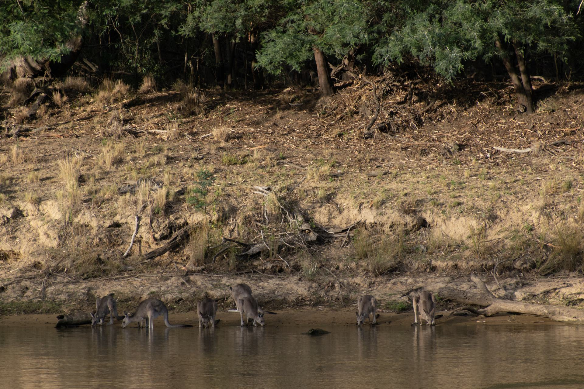 kangaroos coming to the river for a drink