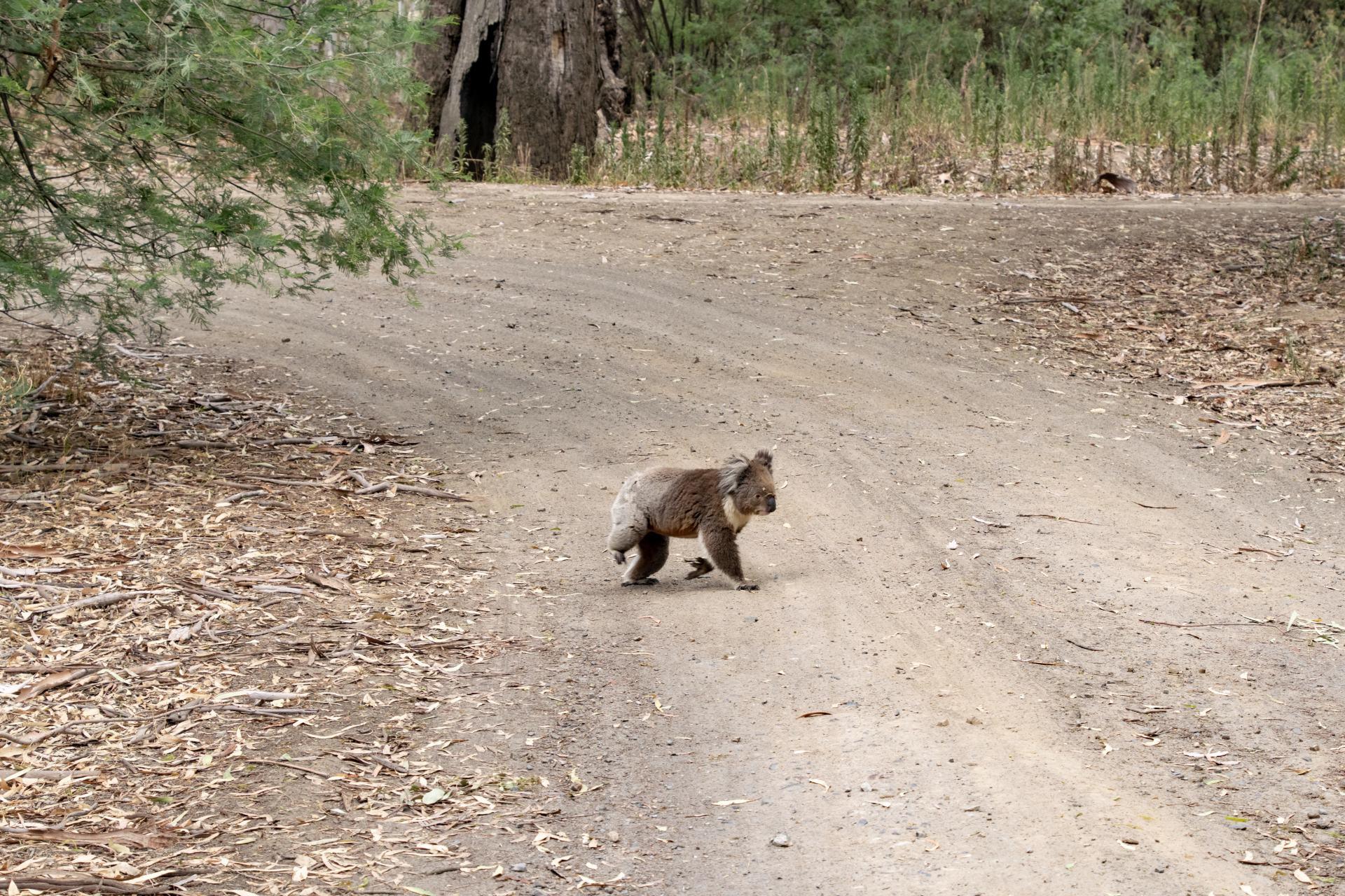 koala crossing the road on ulupna island