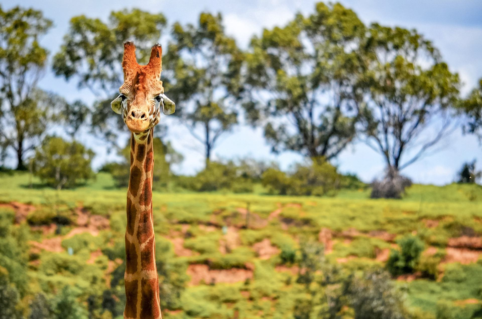 giraffe at werribee open range zoo