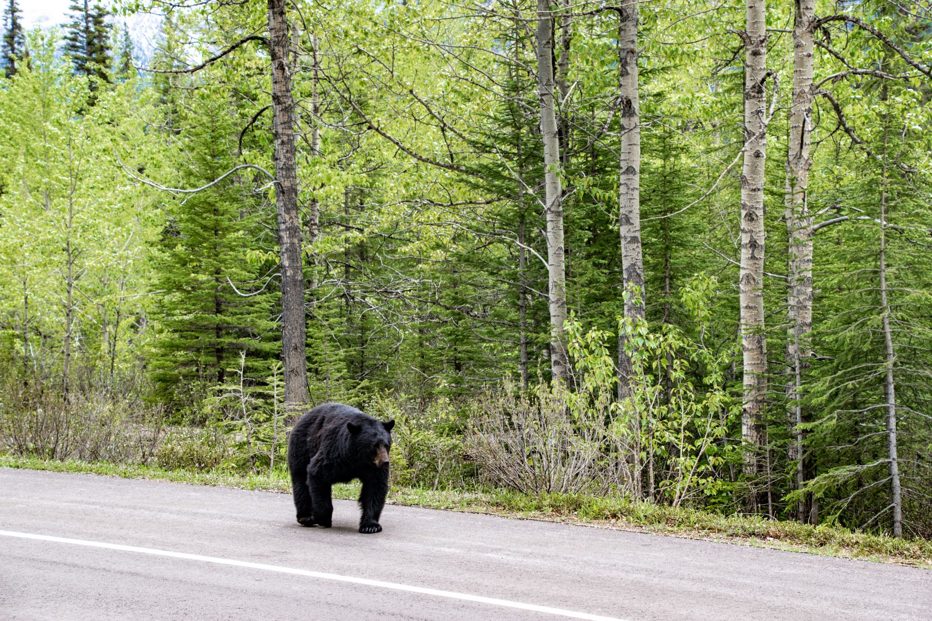 bear walking along icefields parkway