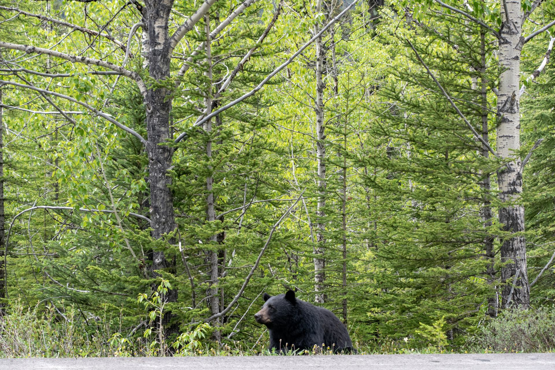 bear in banff national park
