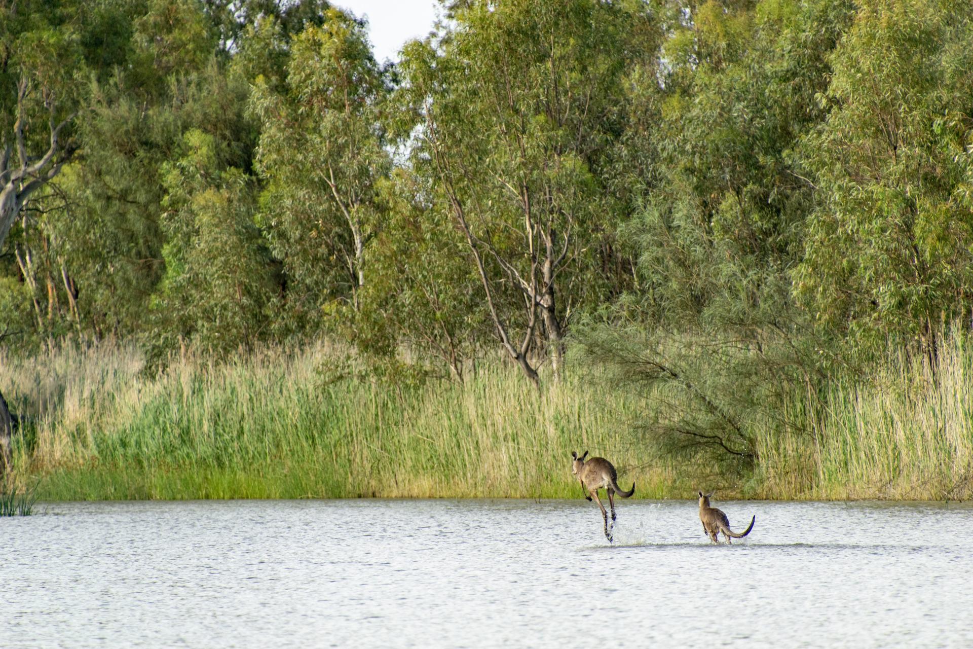 kangaroos in the Murray River Renmark