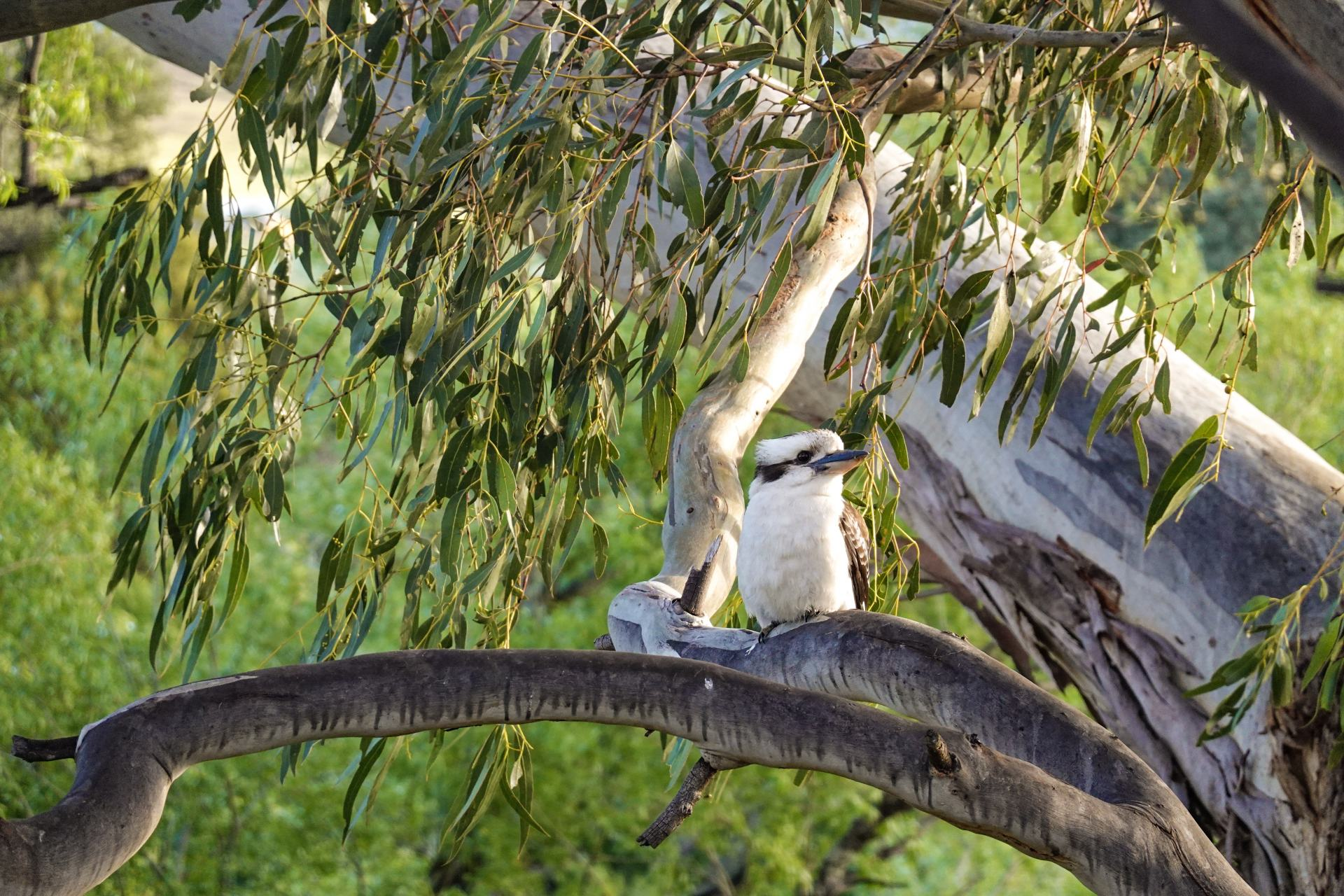 kookaburra at truffle lodge