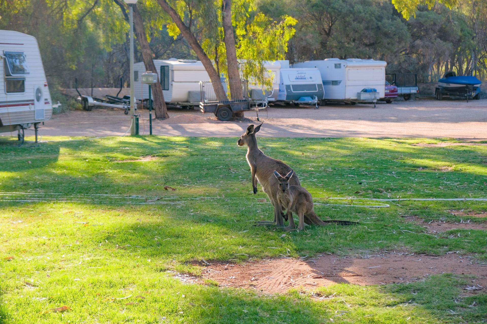 kangaroos in renmark