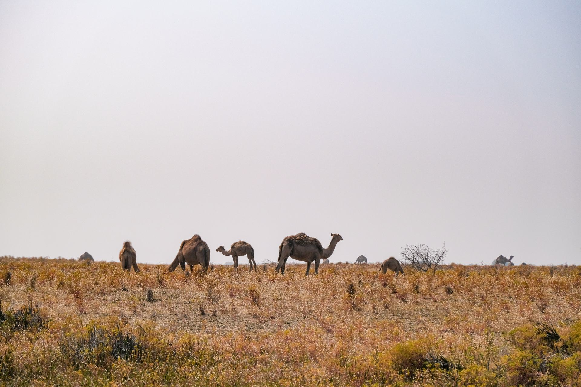 camels on the limestone coast