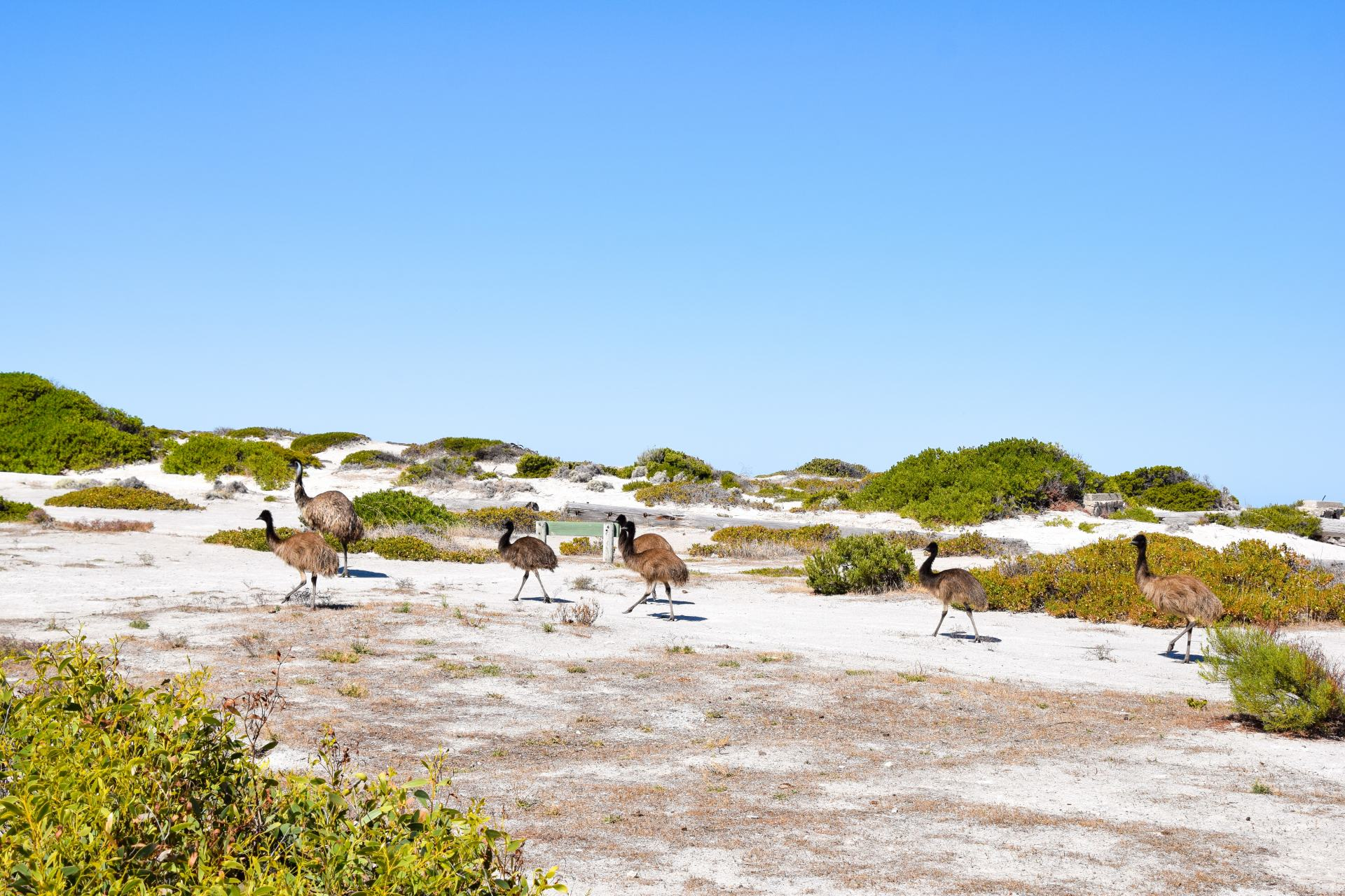 emus in innes national park