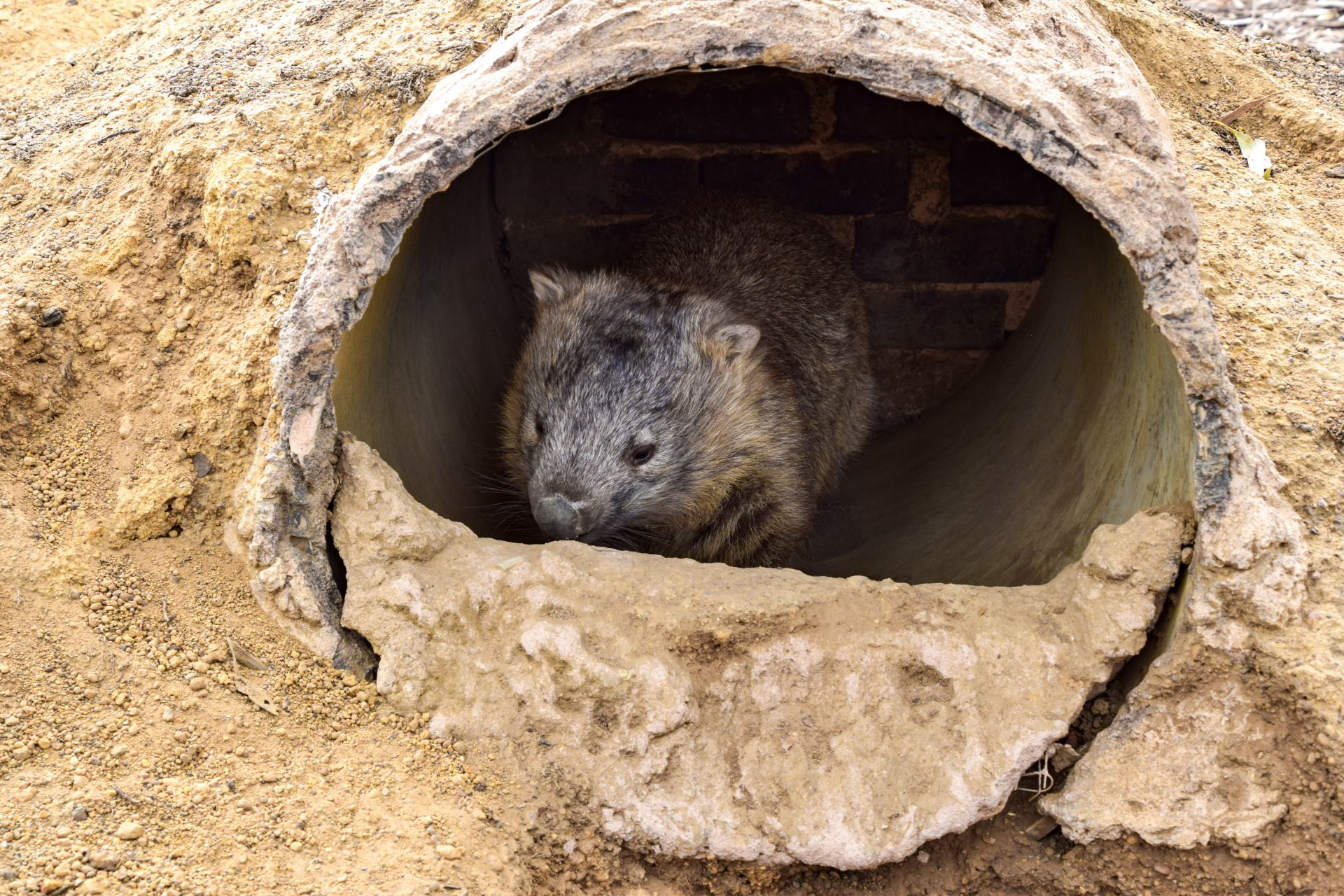 wombat at ki wildlife park