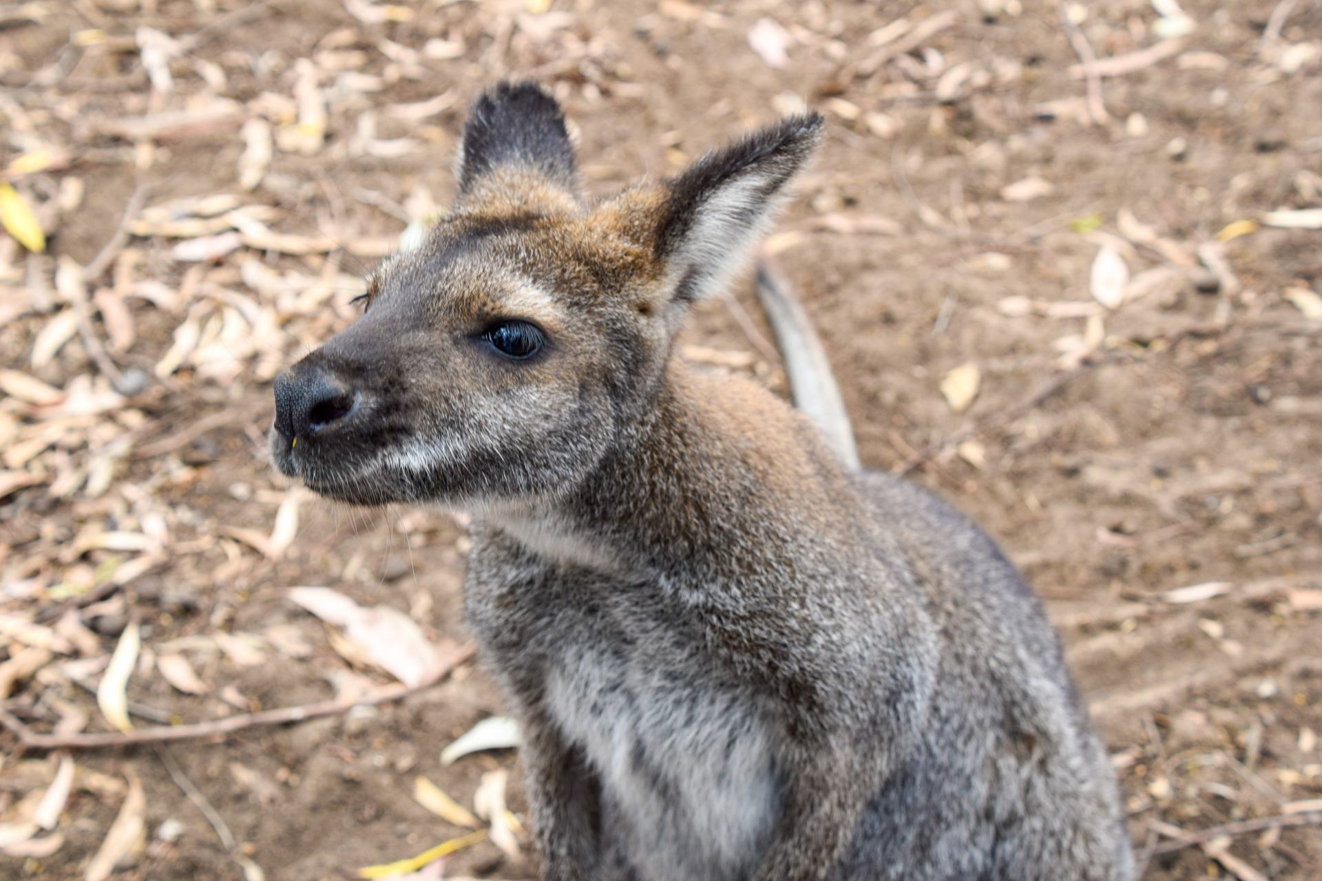 wallaby at ki wildlife park