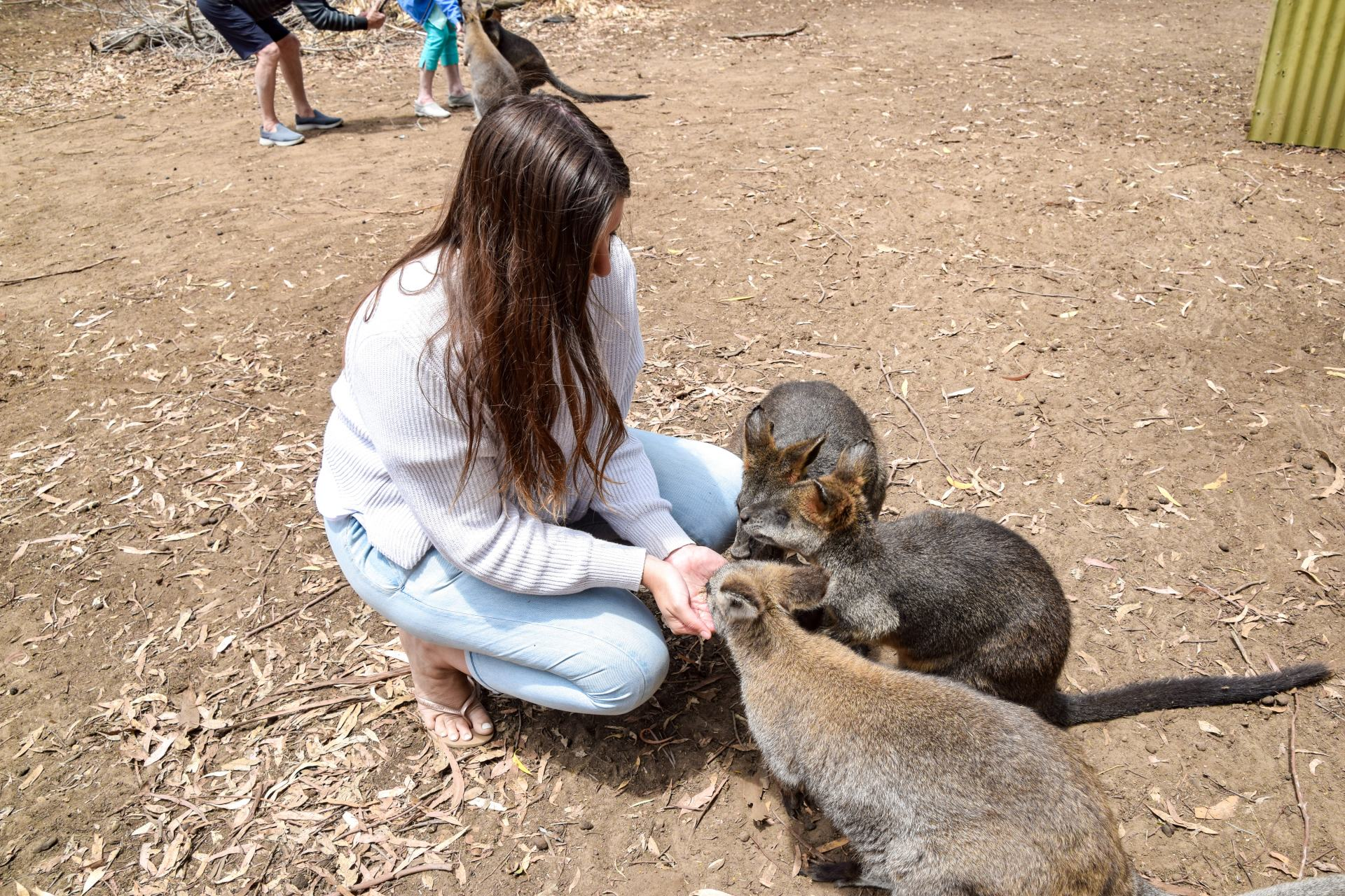feeding wallabies at ki wildlife park