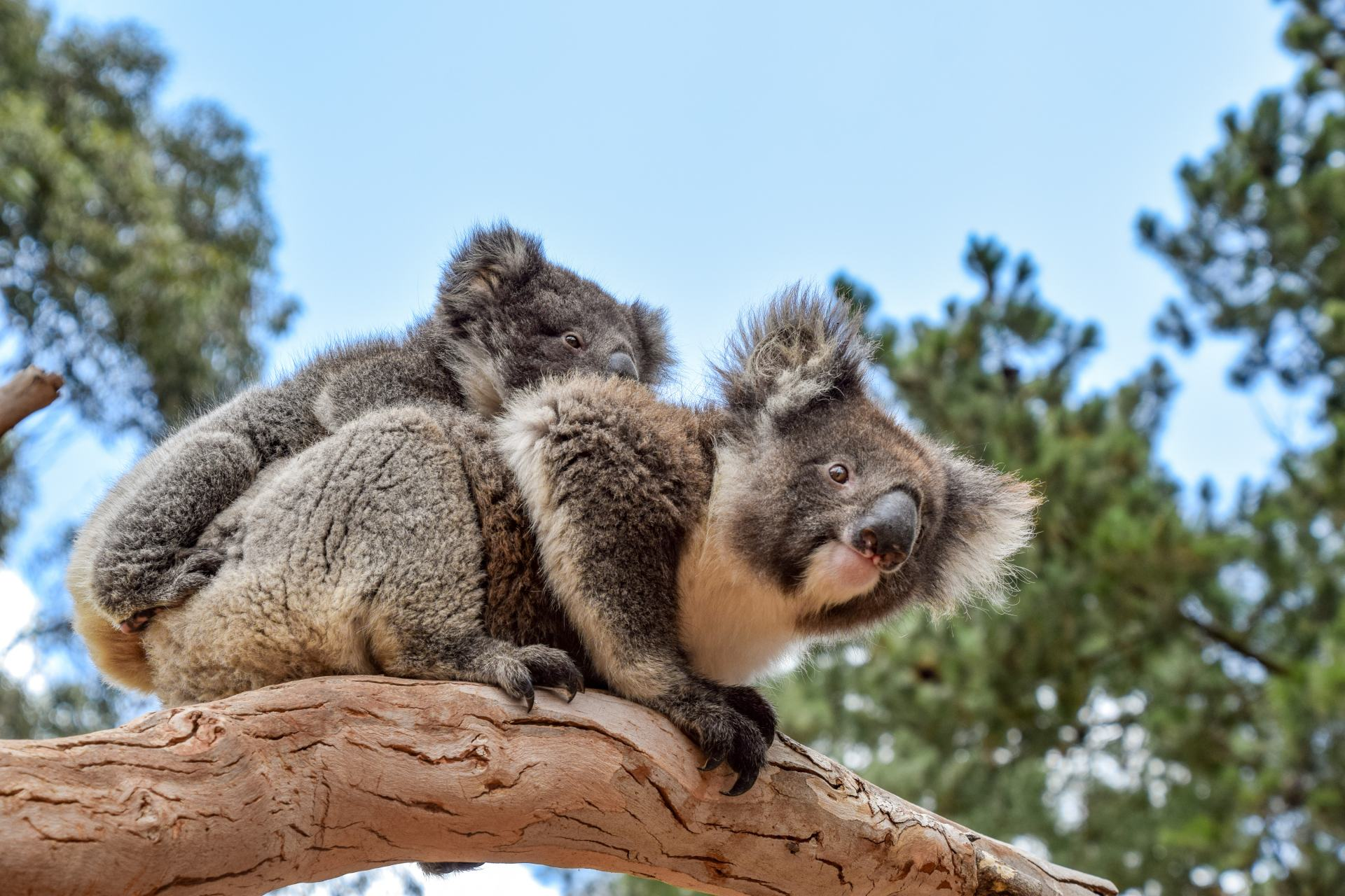 koalas at ki wildlife park