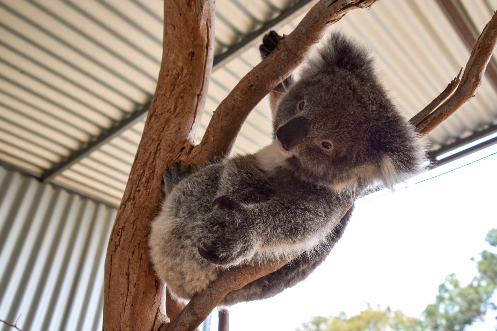 koala at ki wildlife park