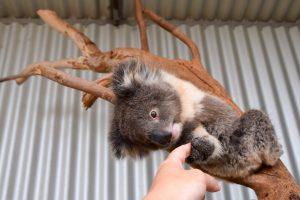koala at kanagroo island wildlife park