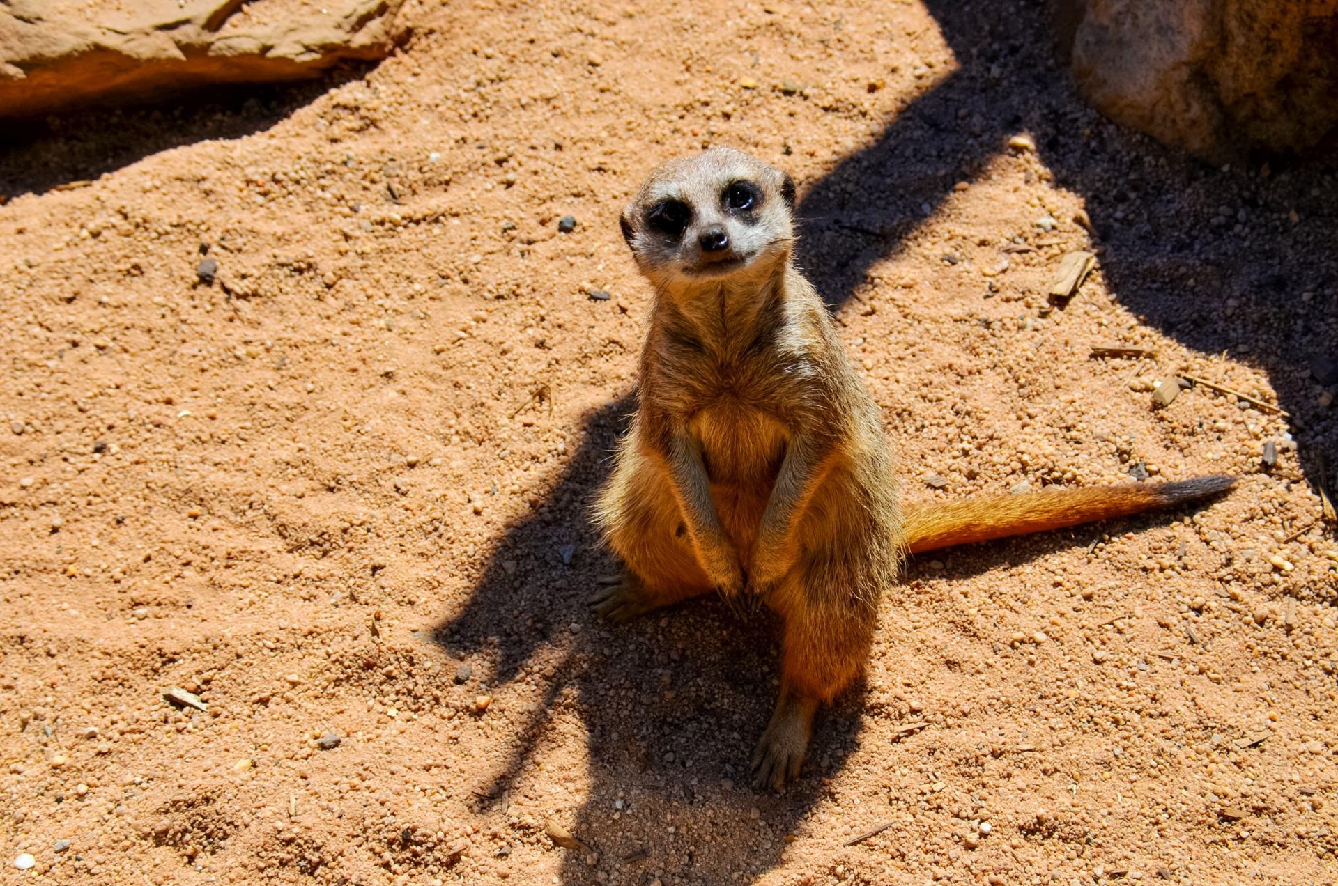 meerkat at the zoo