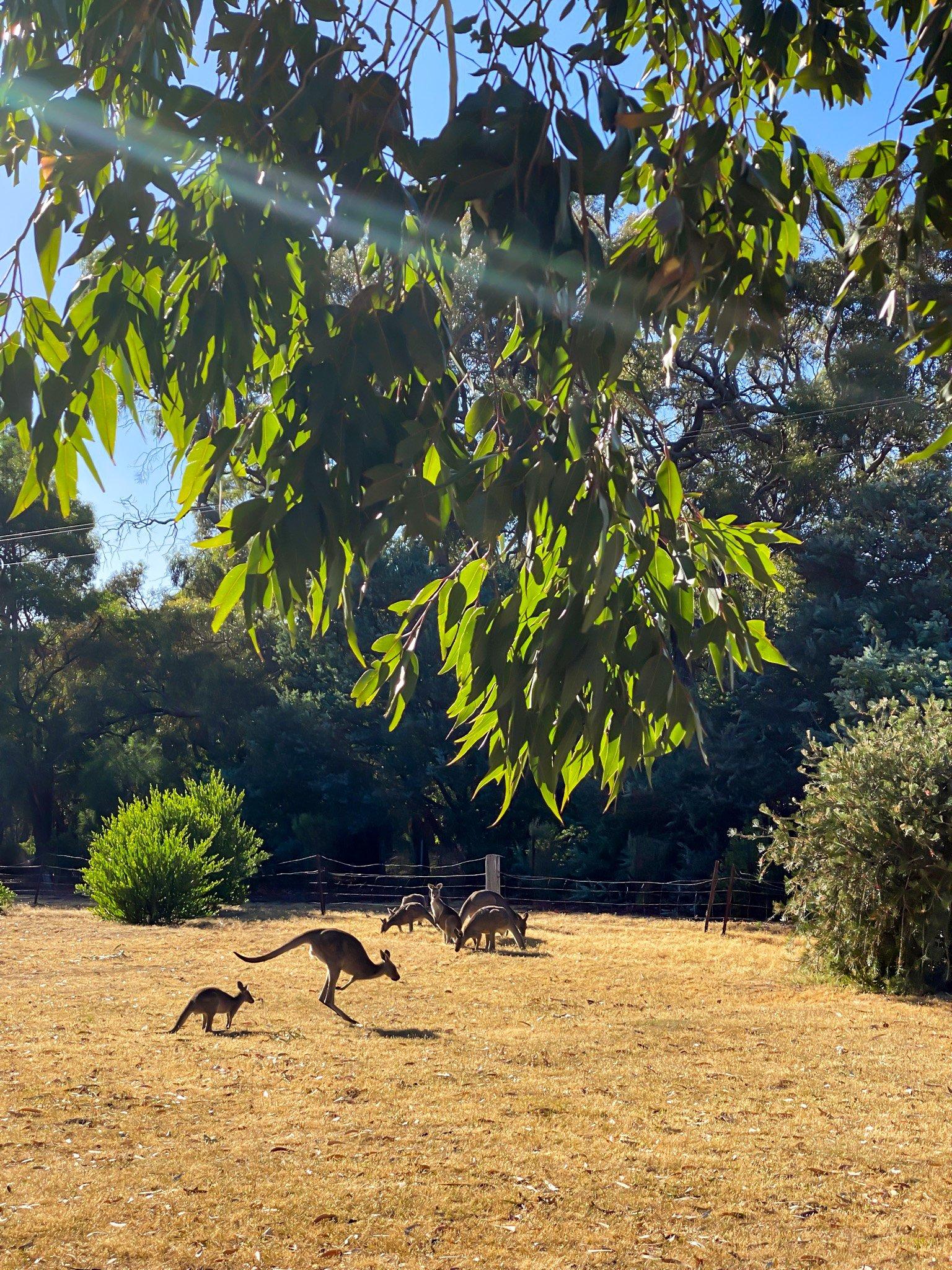 kangaroos in halls gap
