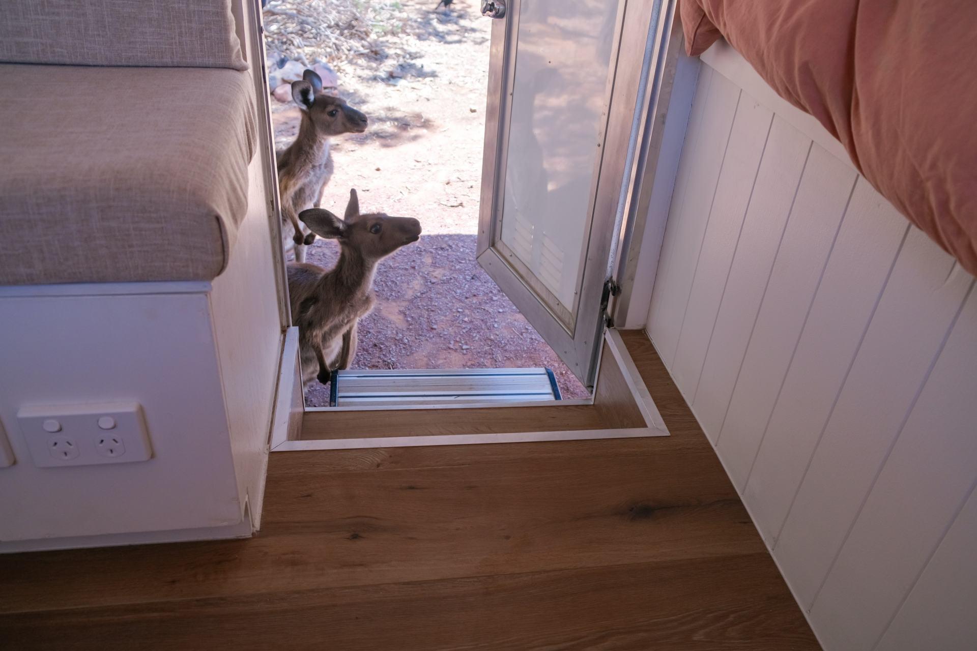 friendly kangaroos at wilpena pound