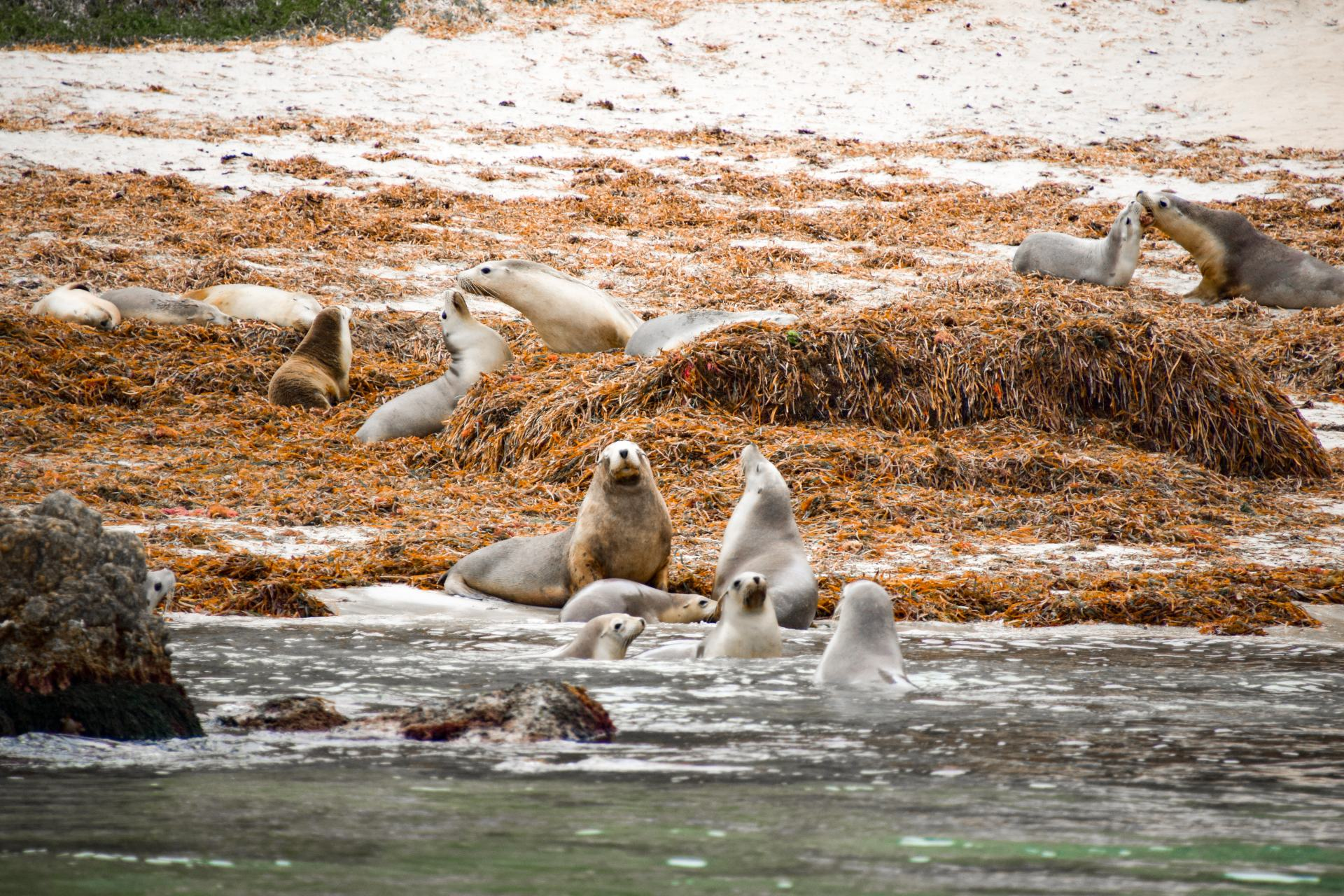 hopkins island seal colony