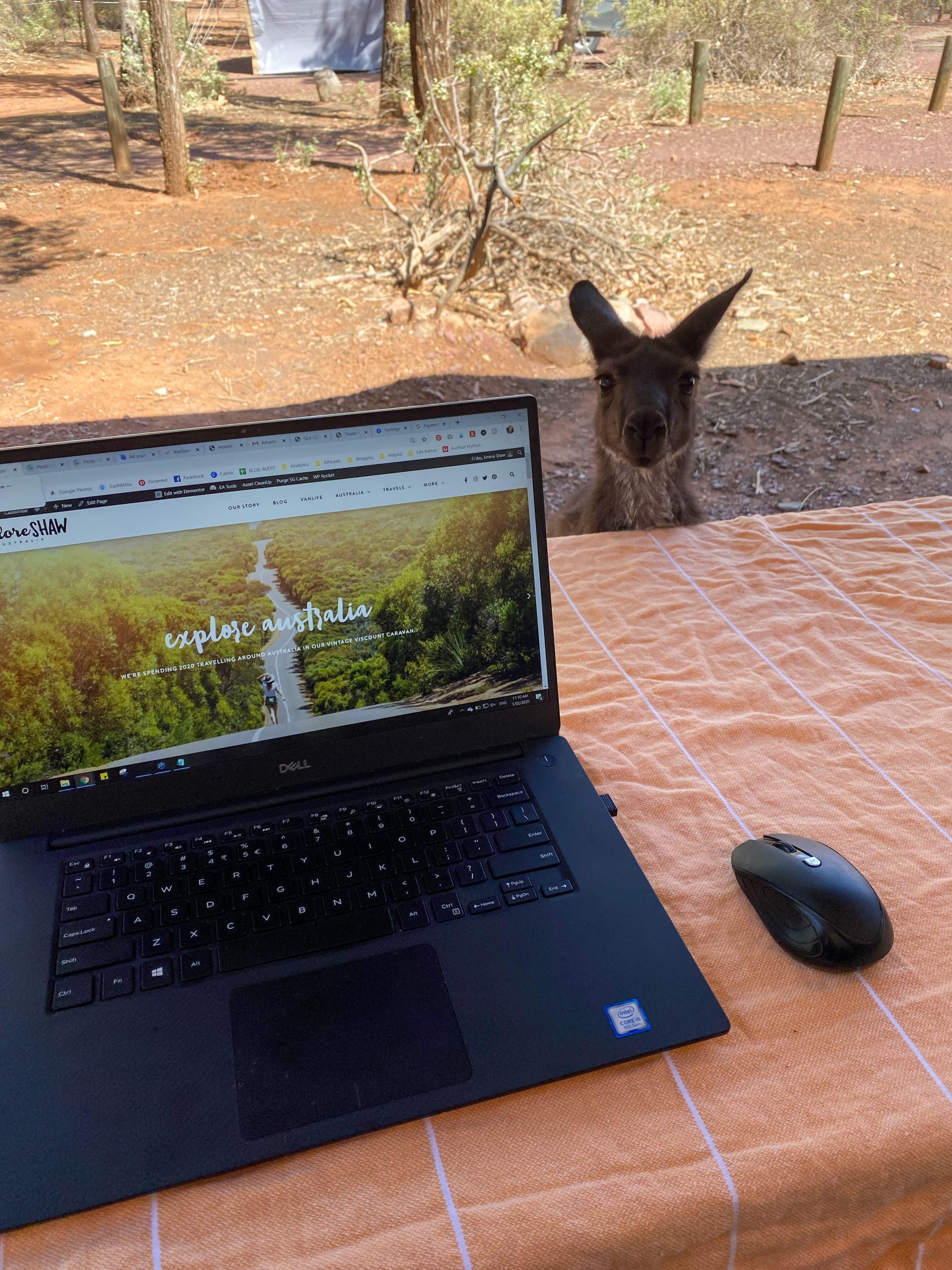 kangaroos at wilpena pound