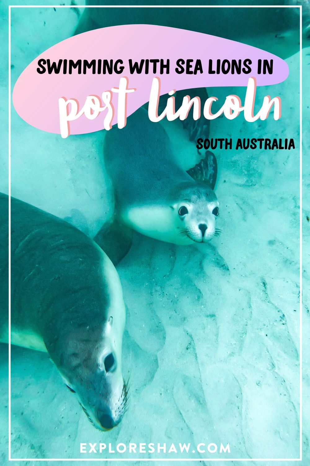 swimming with sea lions in port lincoln