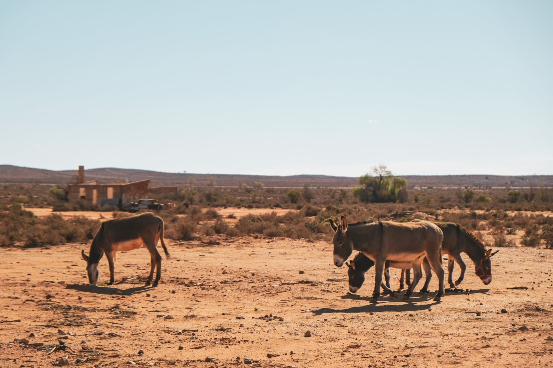 donkeys in broken hill