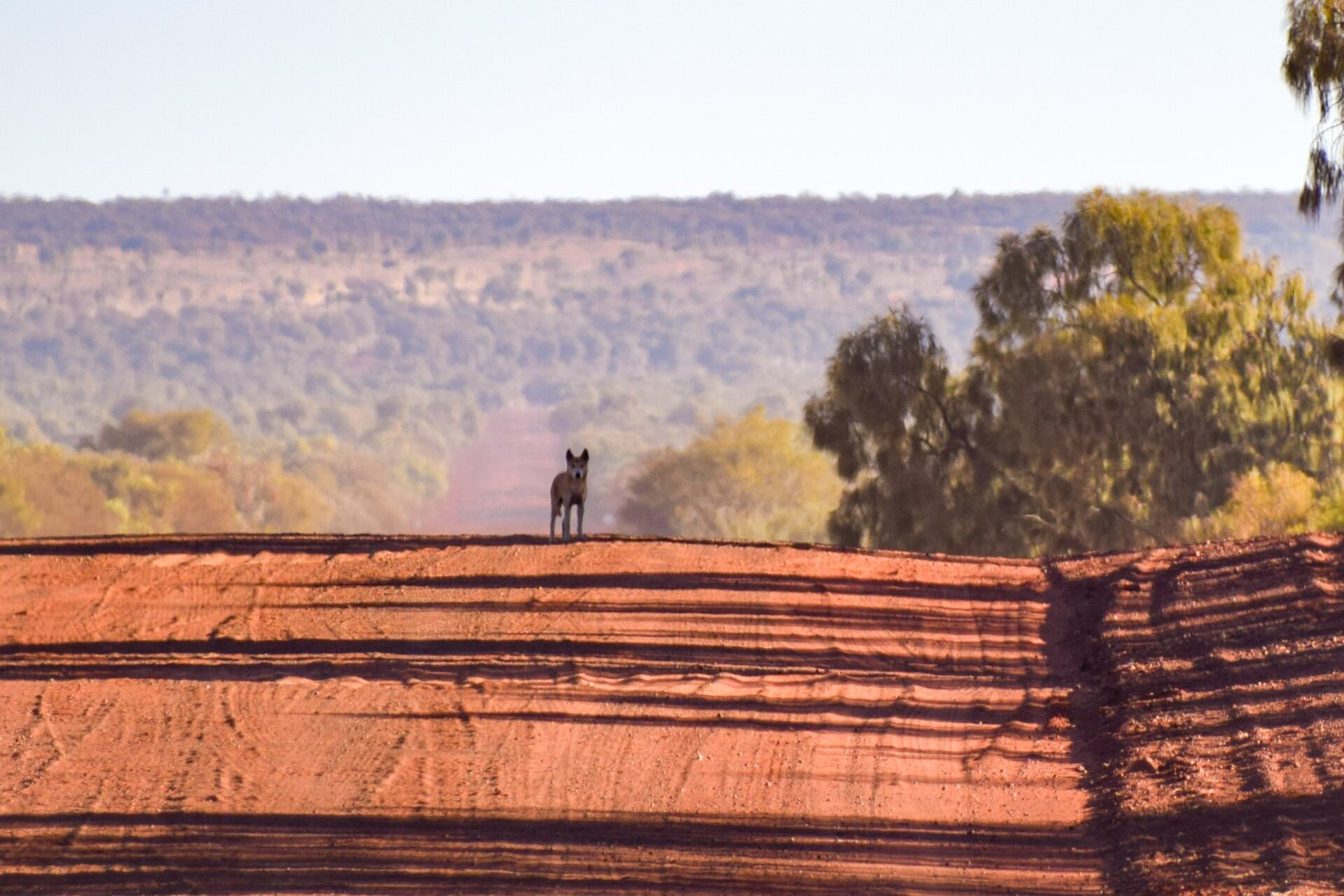 dingo on the red centre way