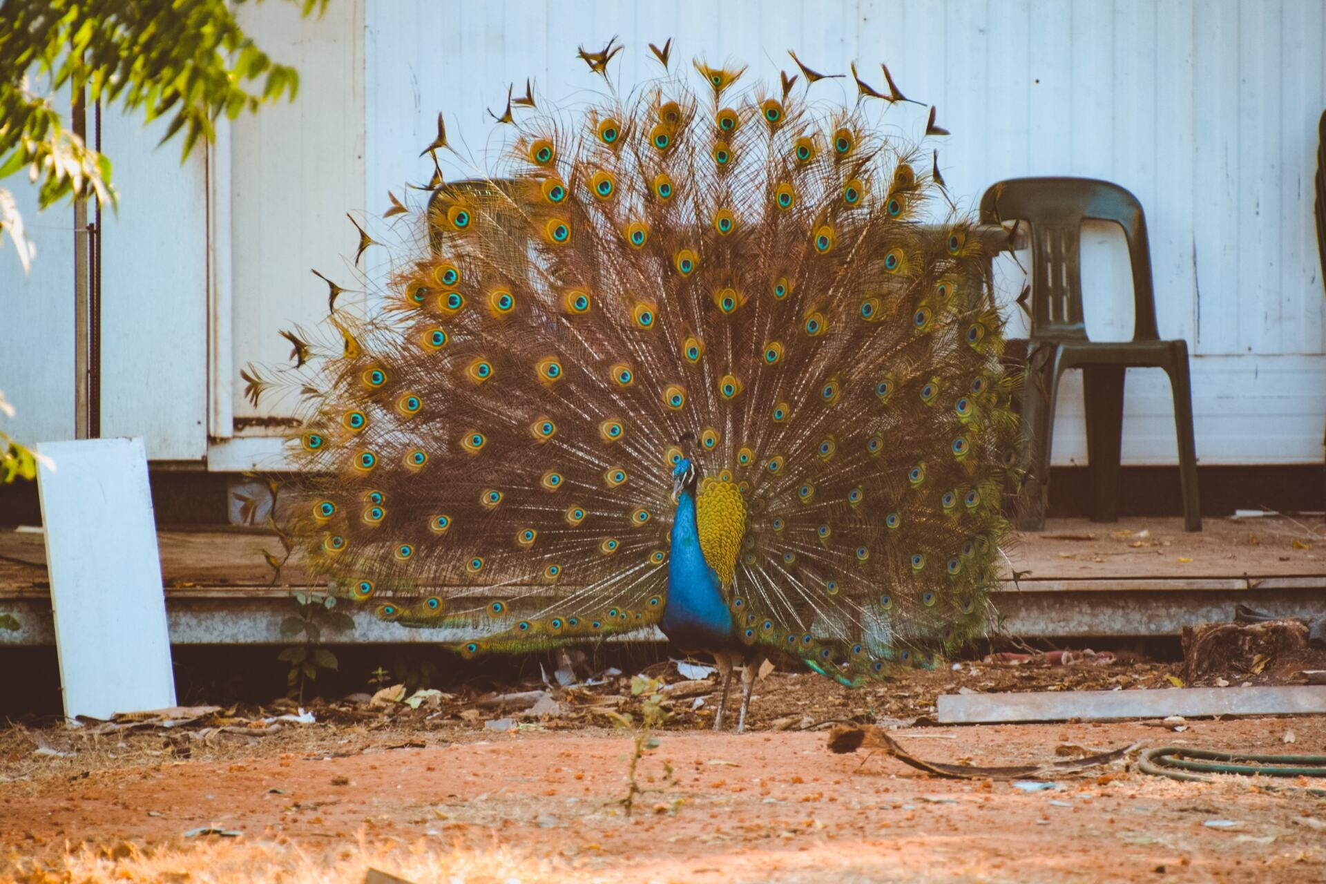 peacock at mataranka homestead