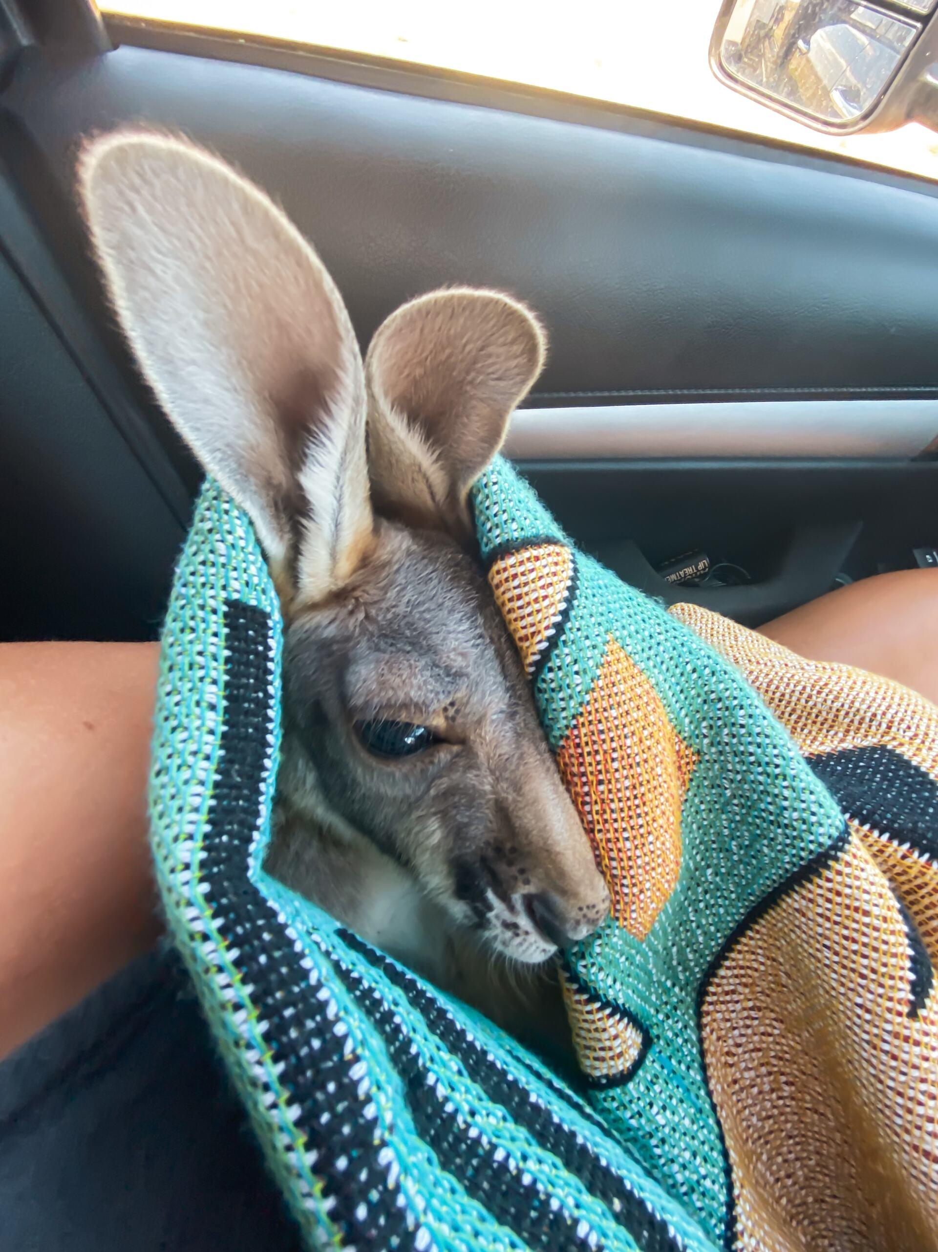 baby kangaroo joey